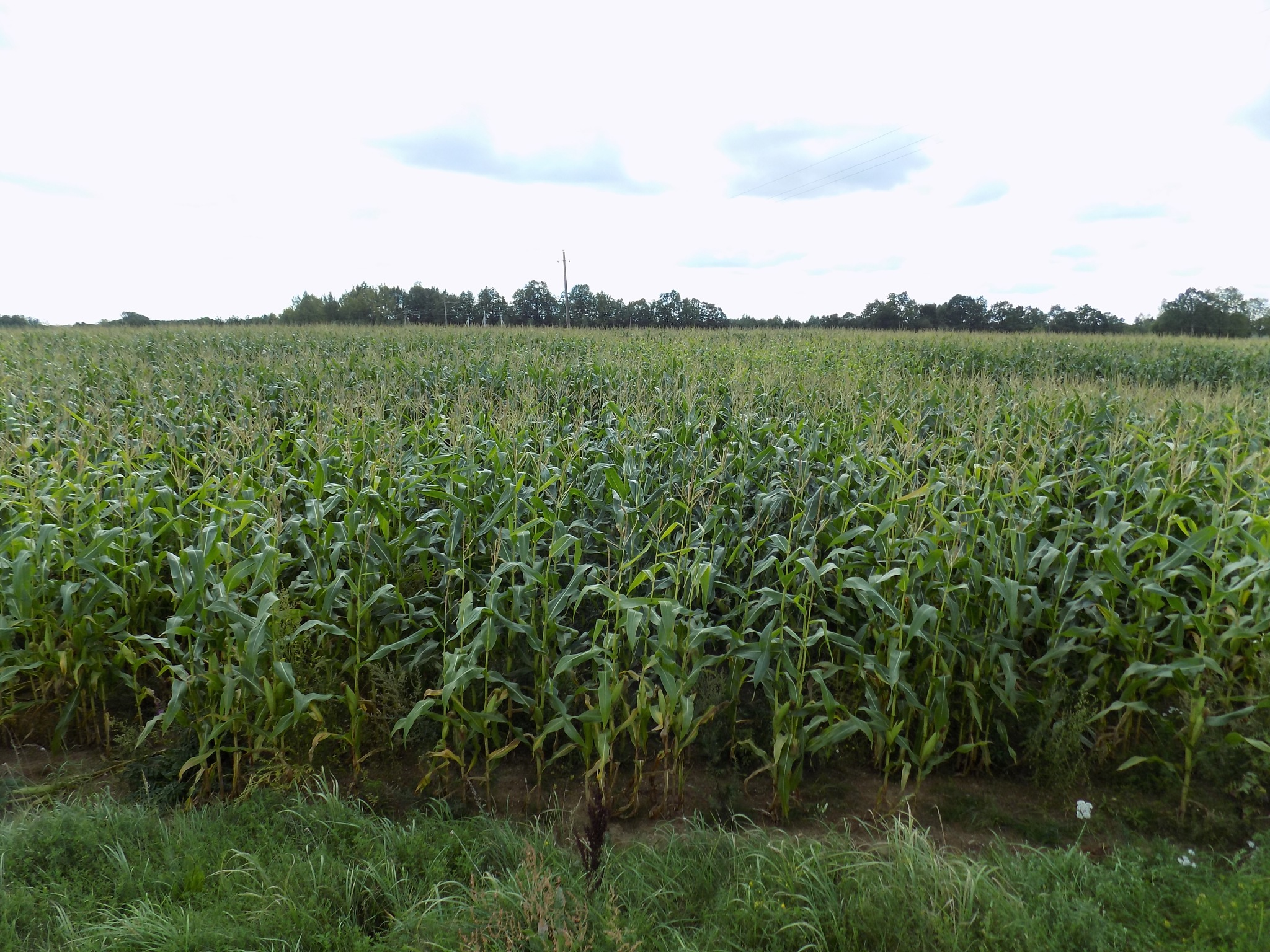 Corn field by uzkuraitiene62