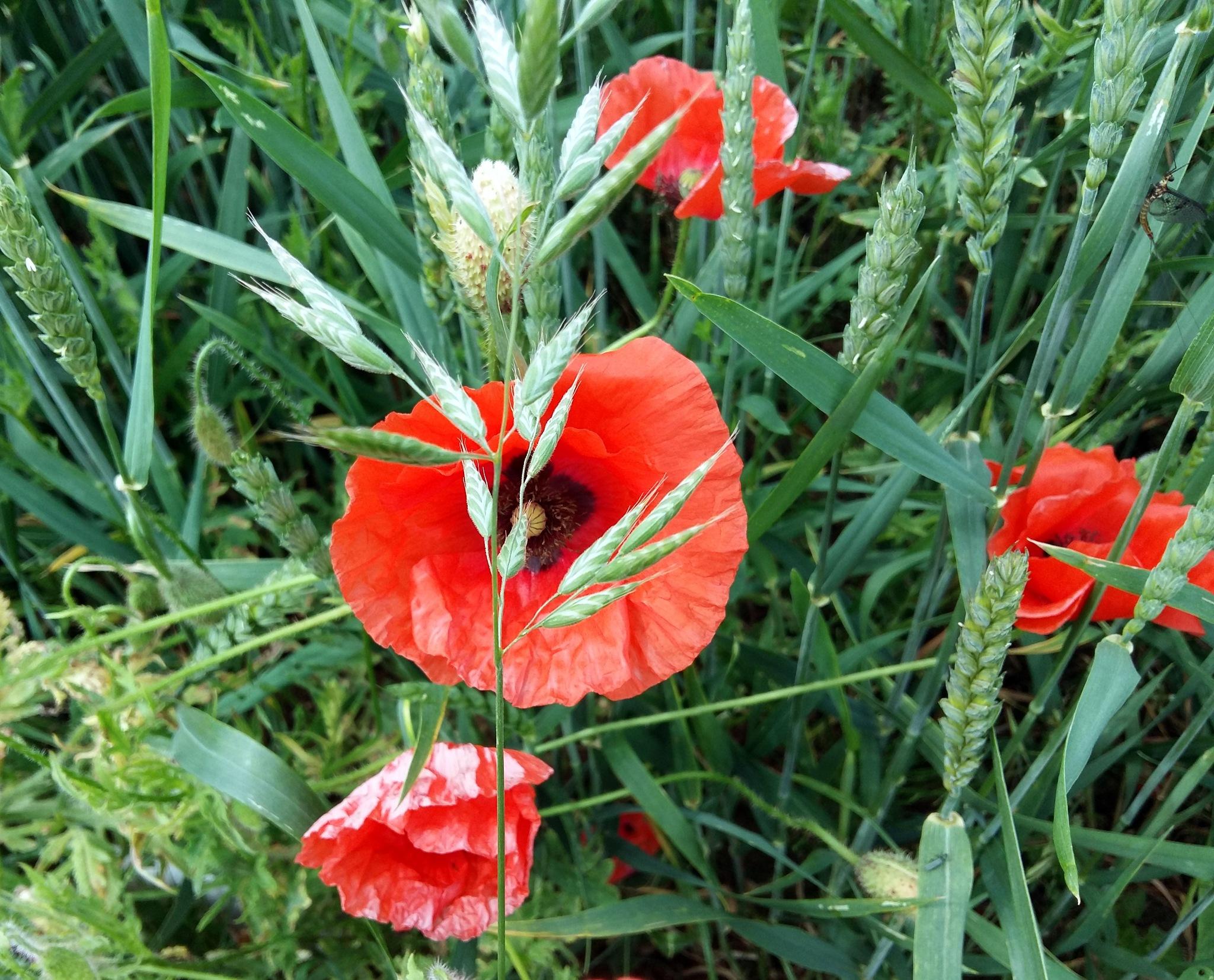 Field poppies by uzkuraitiene62