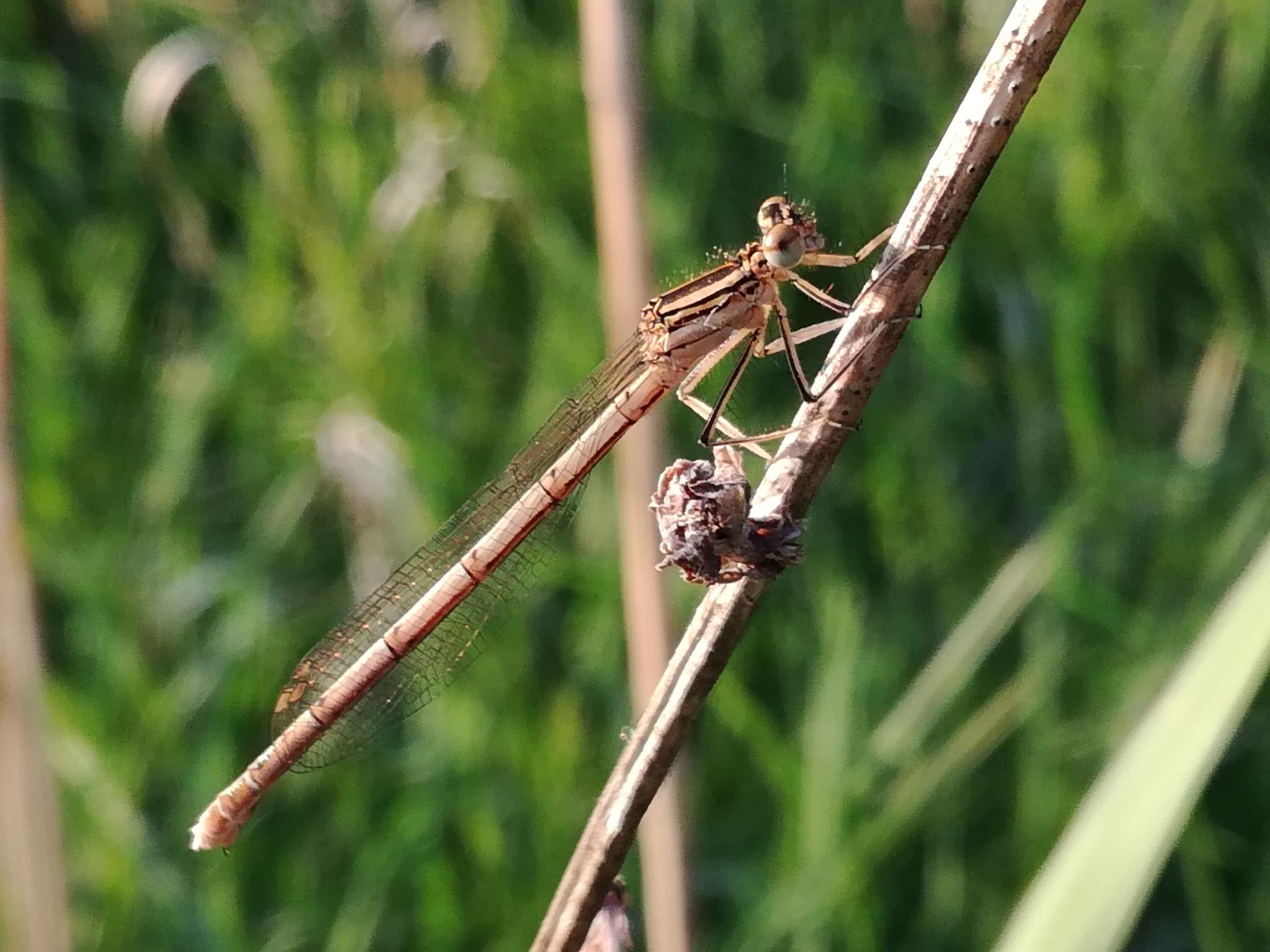 Dragonfly by uzkuraitiene62