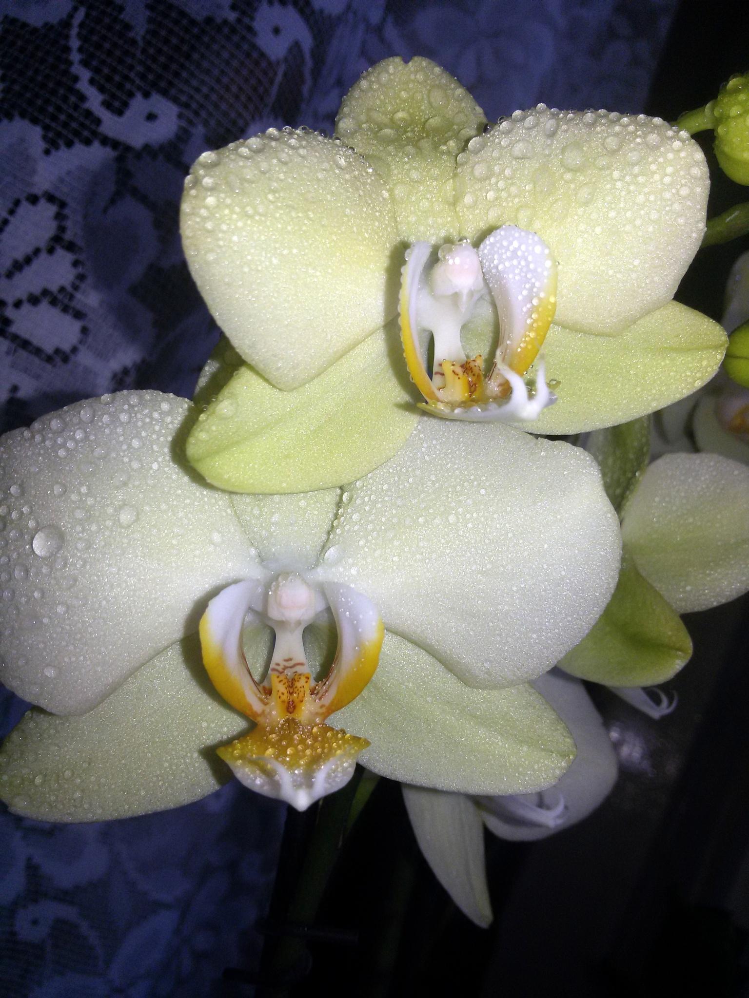 Orchid by uzkuraitiene62