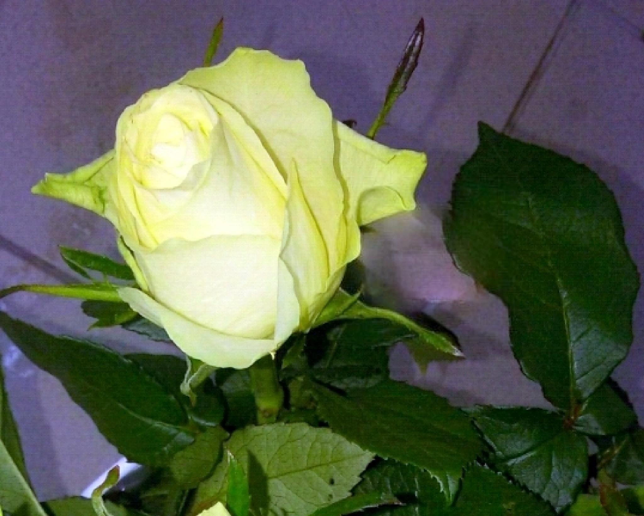 Flower 615 by uzkuraitiene62