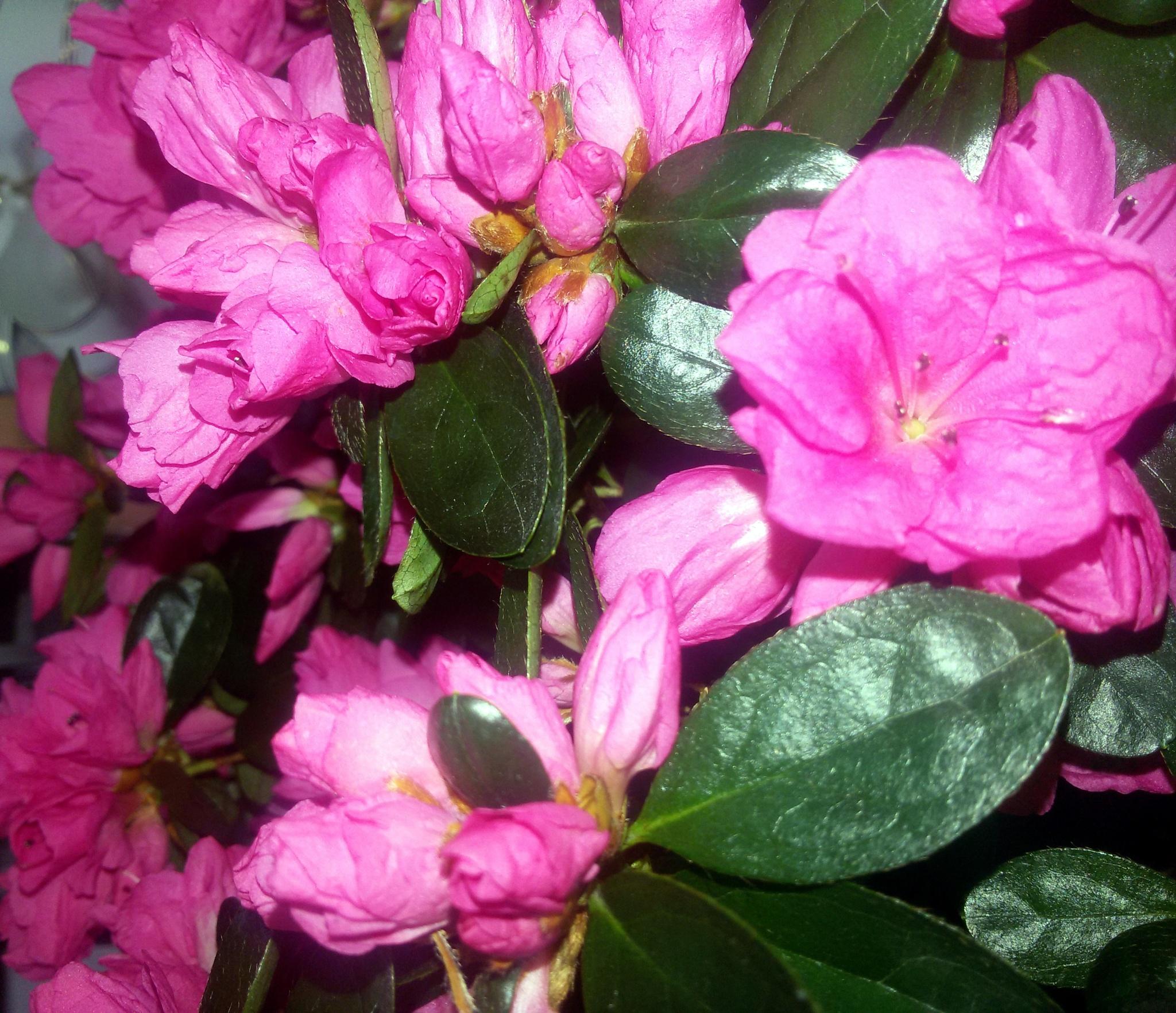 Pink flower. by uzkuraitiene62
