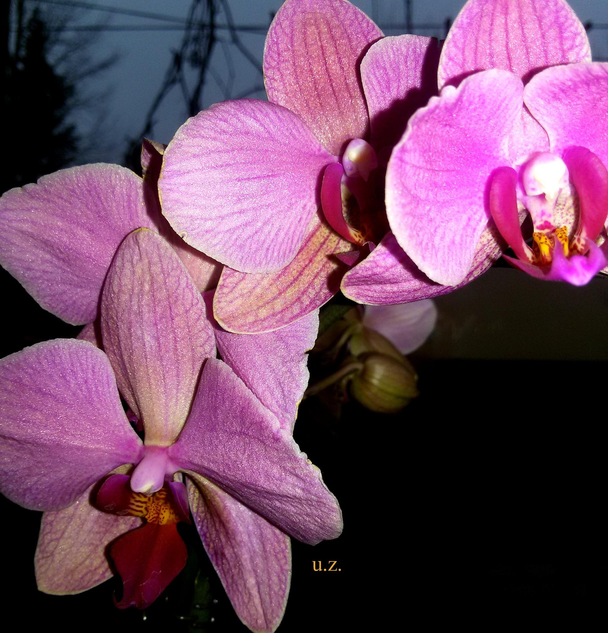 Orchid. by uzkuraitiene62