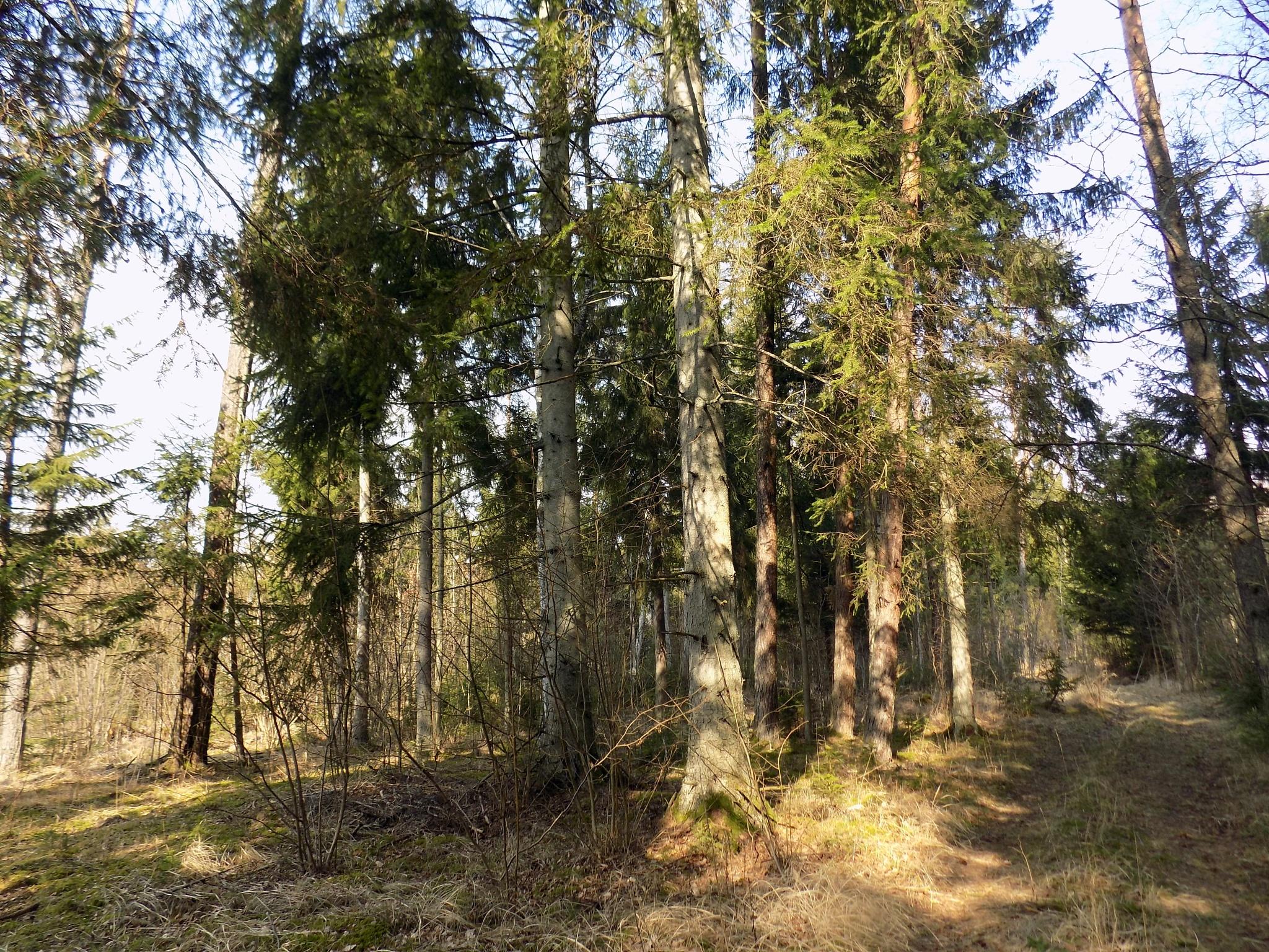 Trees in forest by uzkuraitiene62