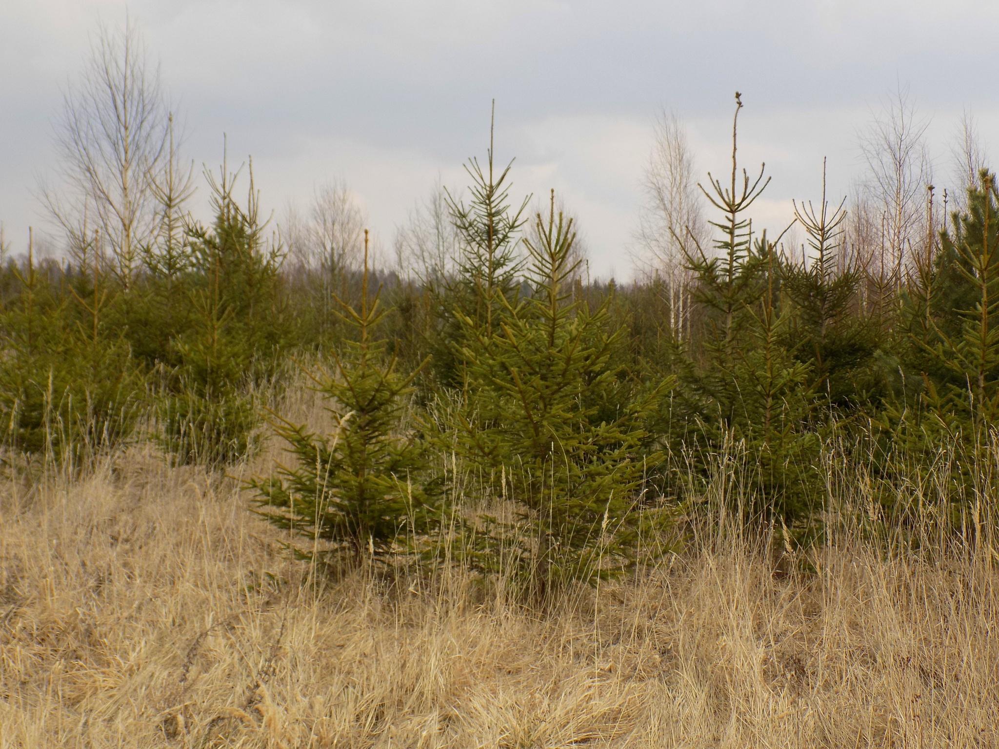 Outskirts trees by uzkuraitiene62