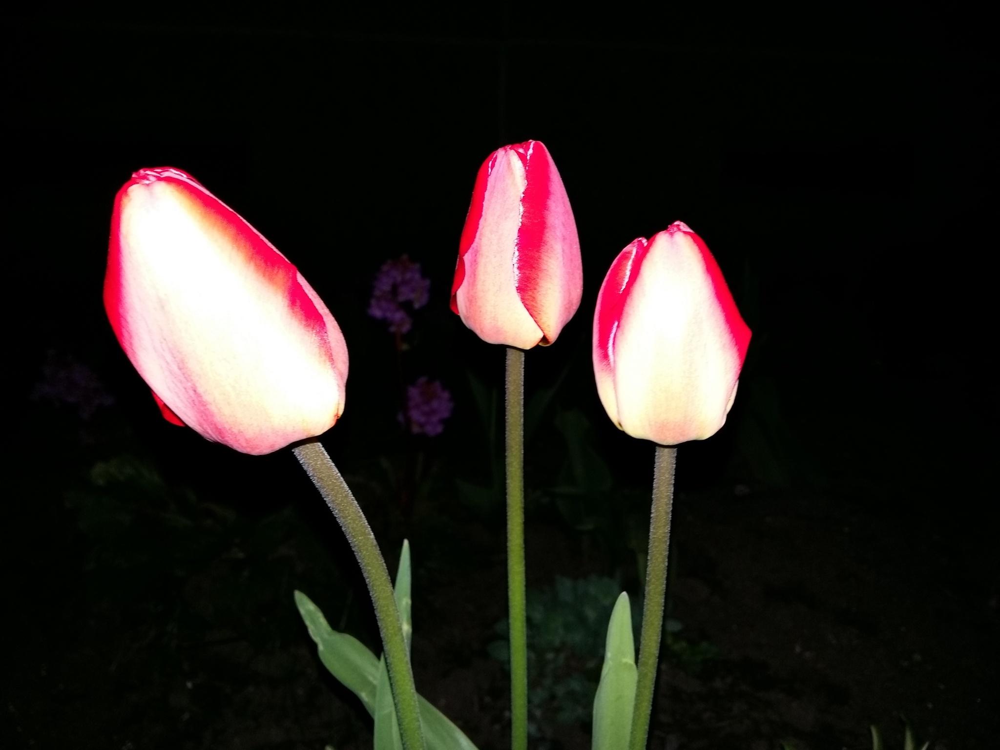 Tulips at night by uzkuraitiene62