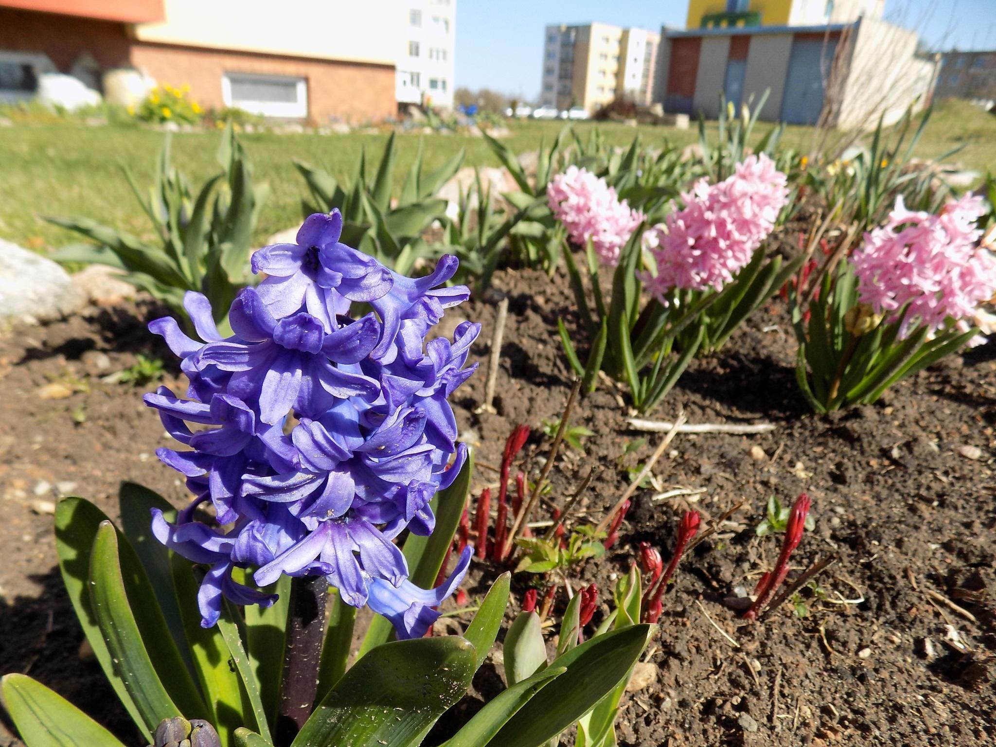 Spring flowers. by uzkuraitiene62