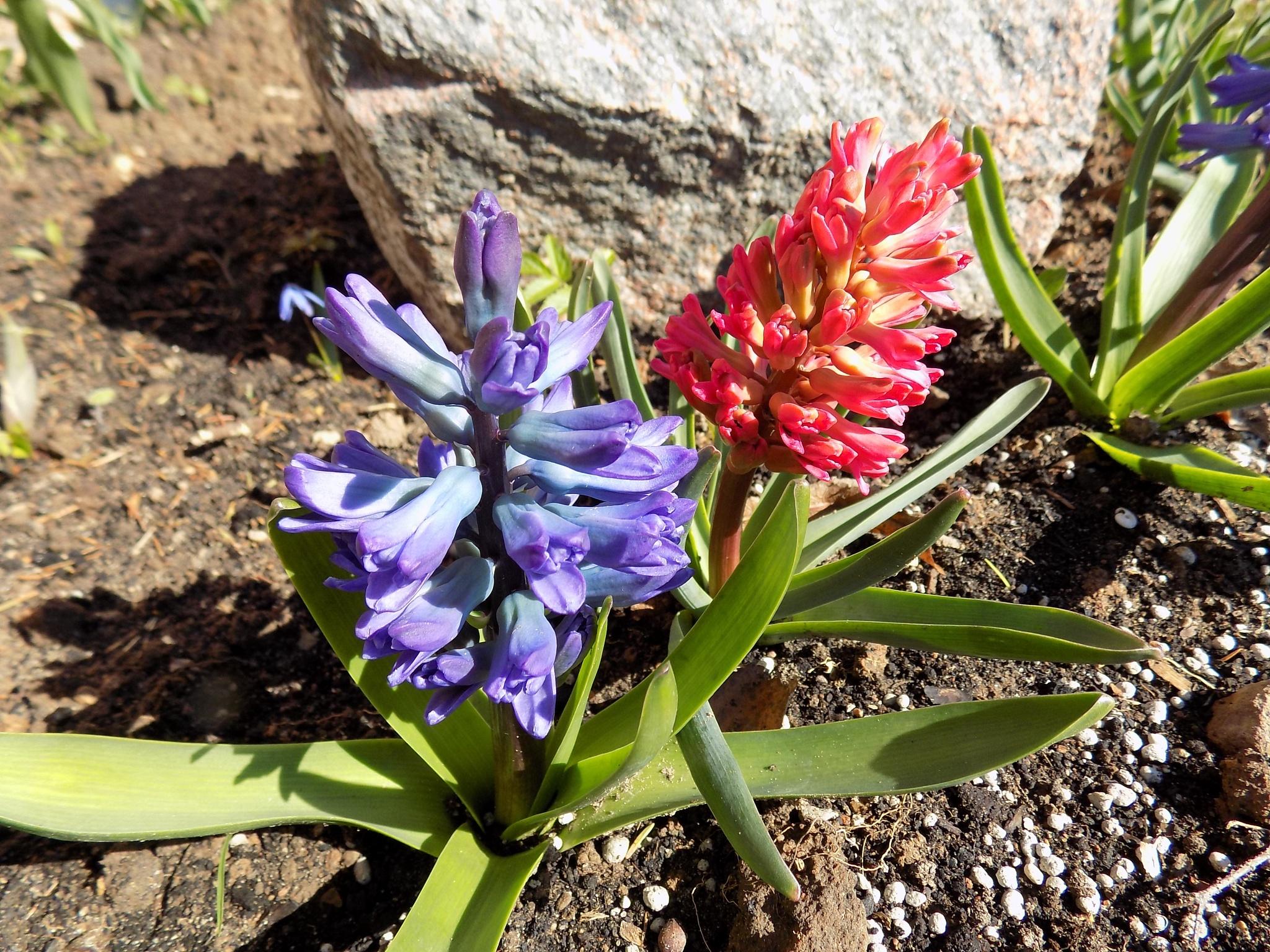 Blue abd pink flowers by uzkuraitiene62