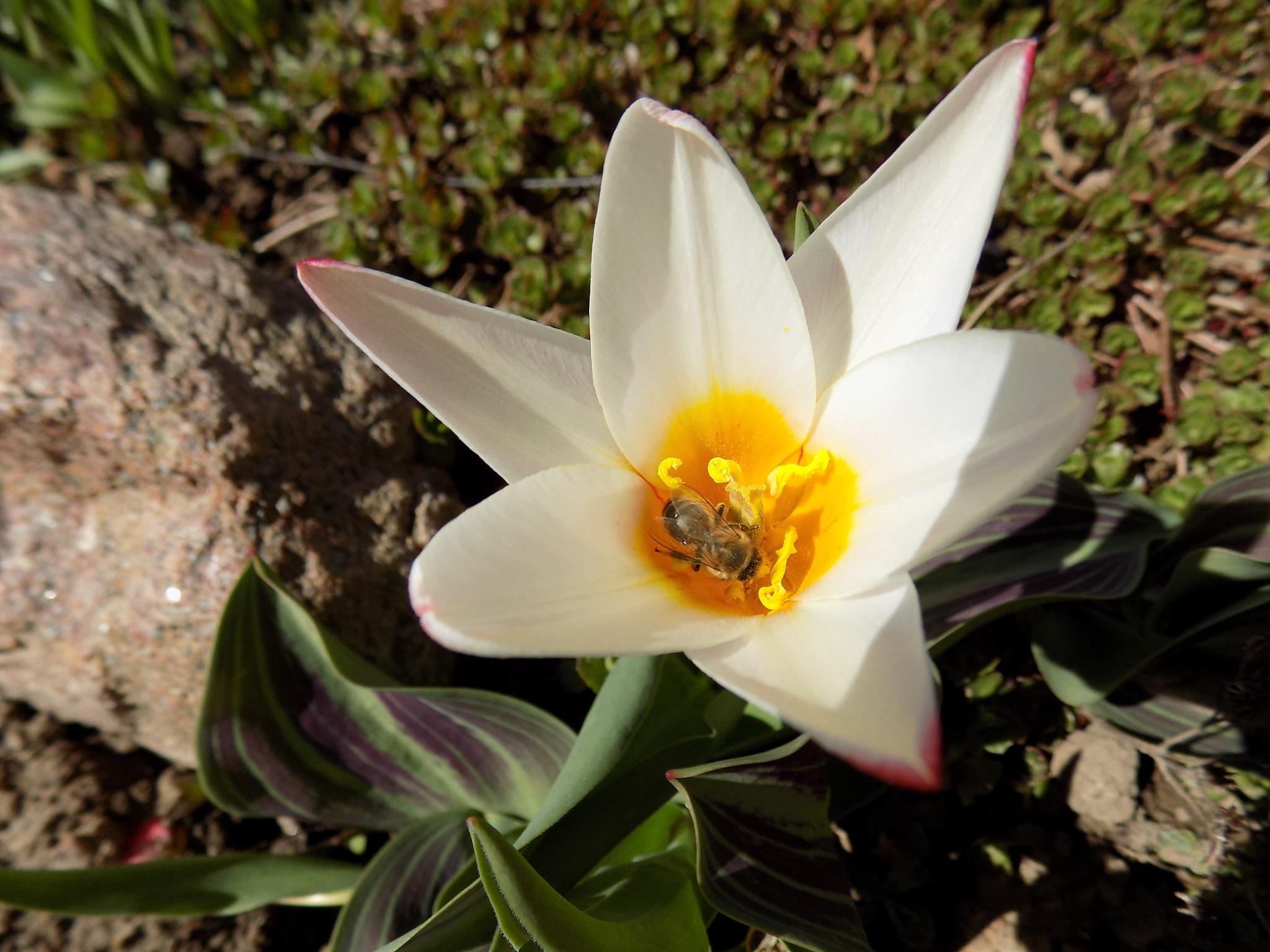 Tulip and bee. by uzkuraitiene62