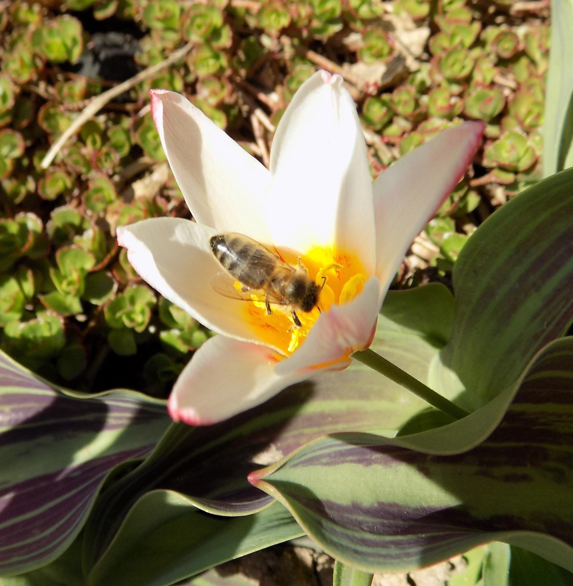 Tulip with bee by uzkuraitiene62
