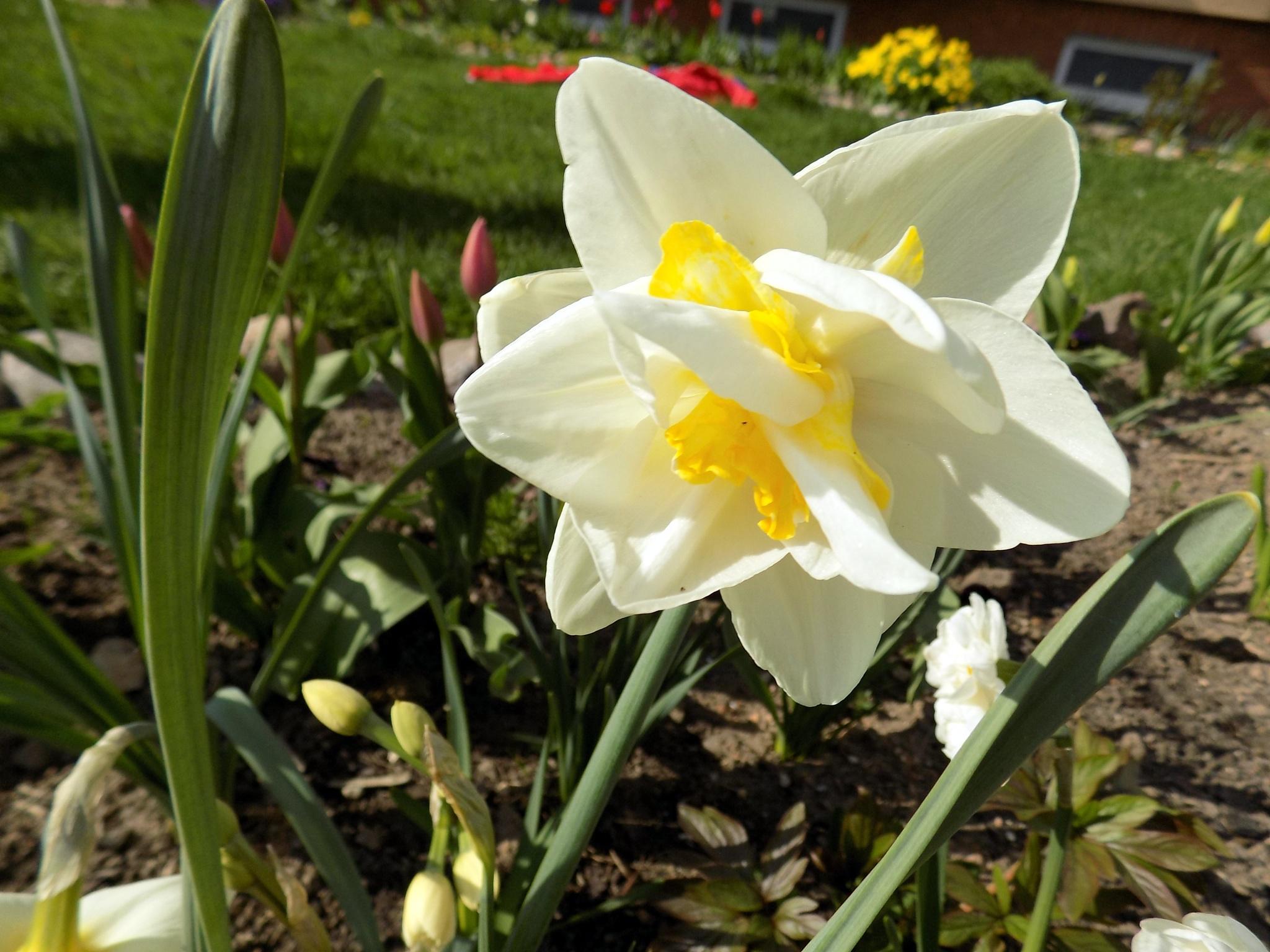 Daffodils by uzkuraitiene62