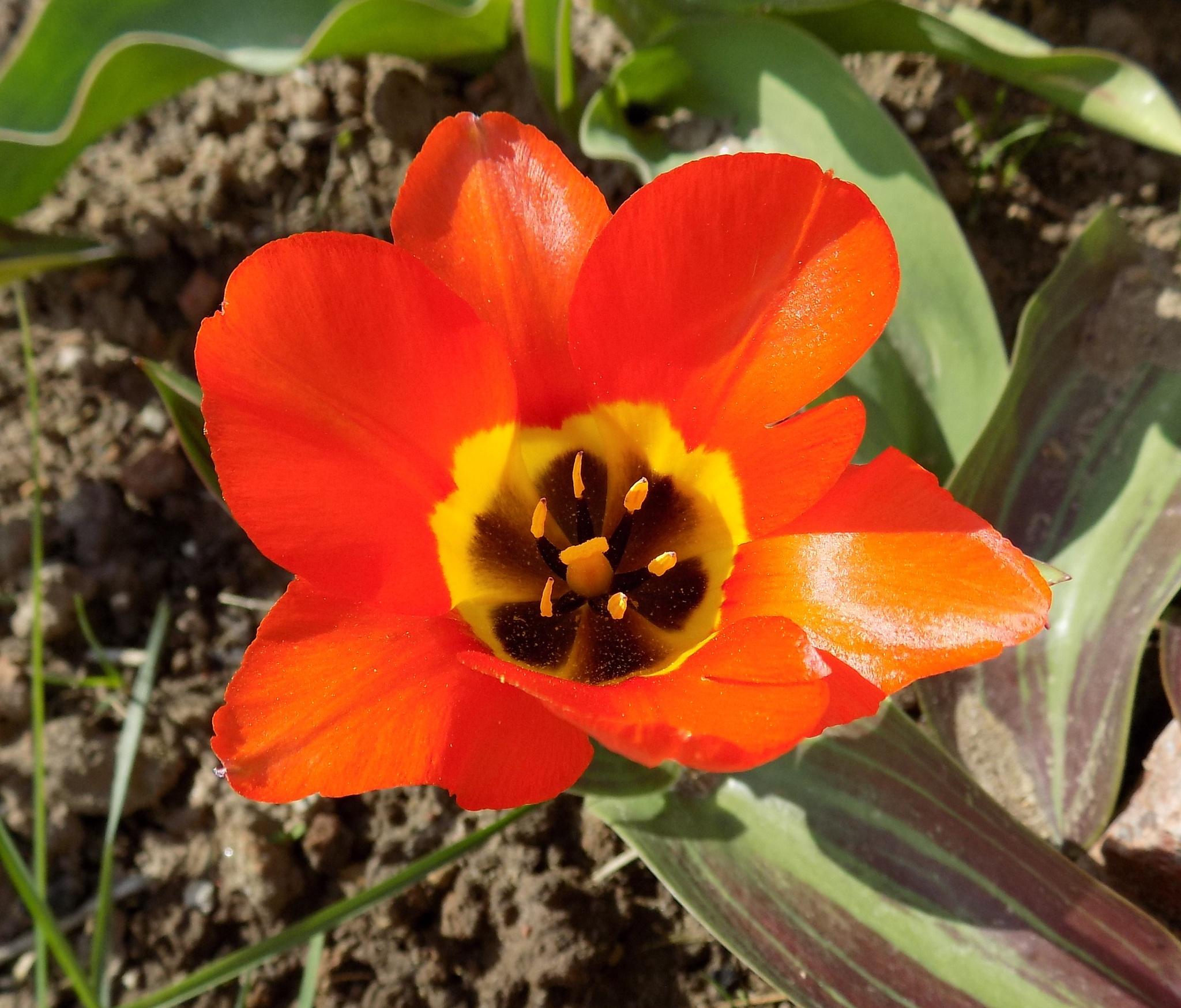 Tulip. by uzkuraitiene62