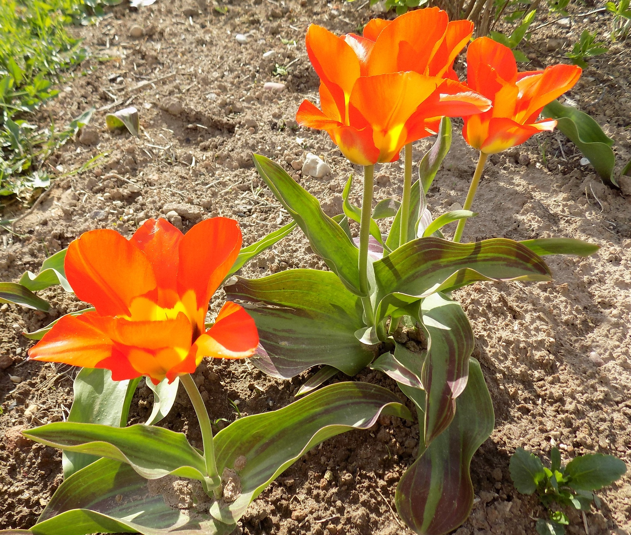 Tulips. by uzkuraitiene62