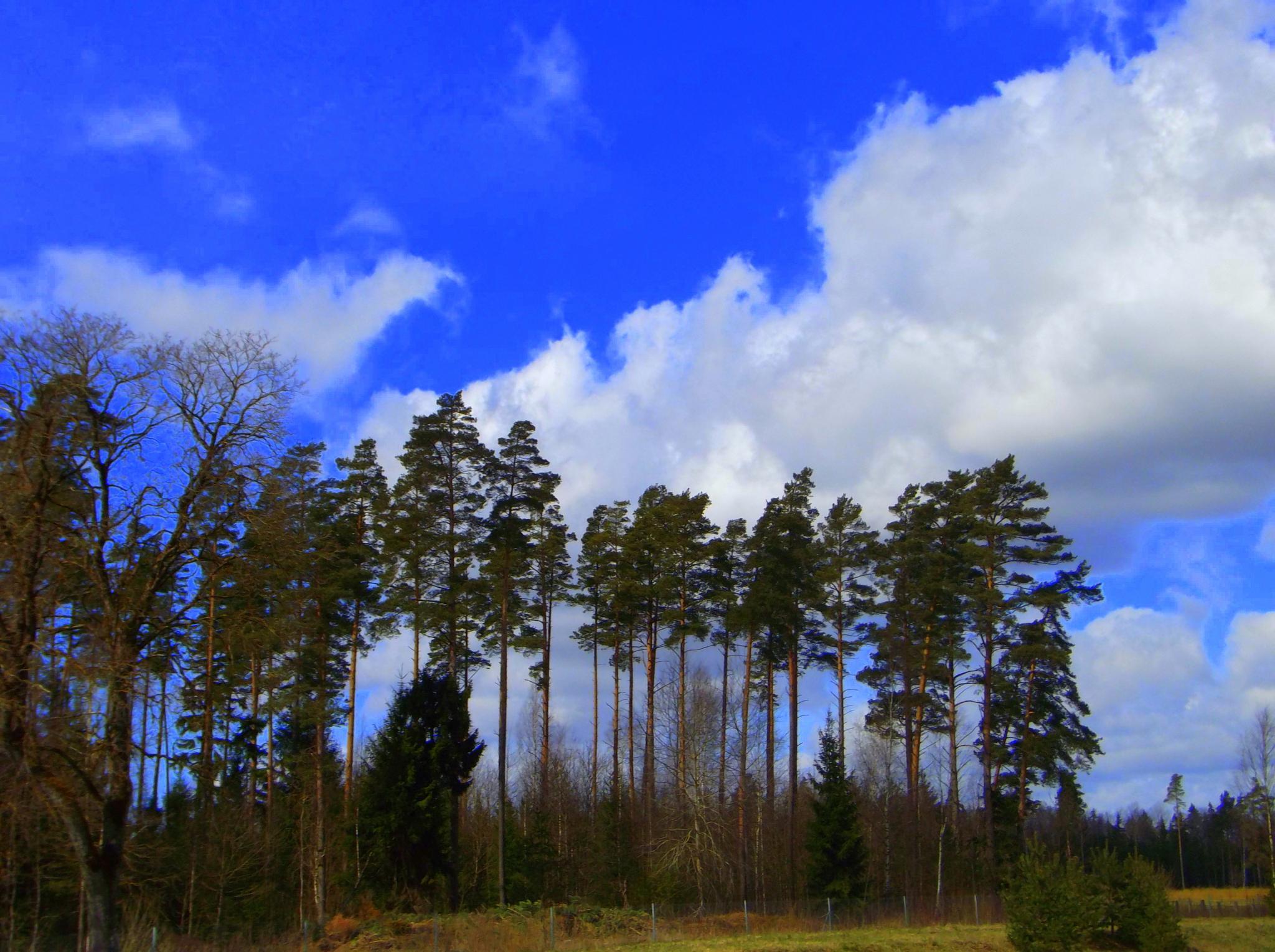 Trees & sky by uzkuraitiene62