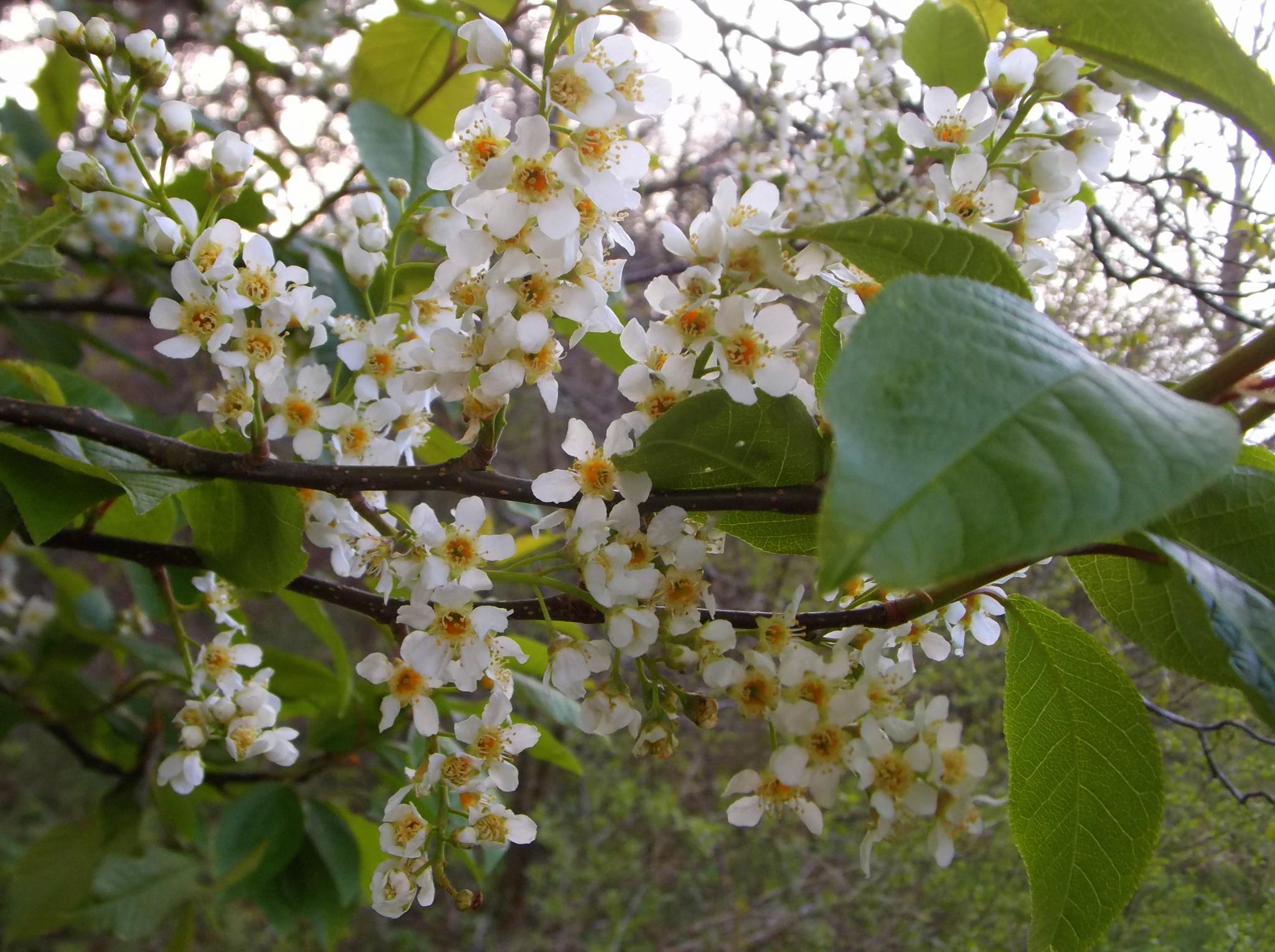 Blooming cherry -4 by uzkuraitiene62