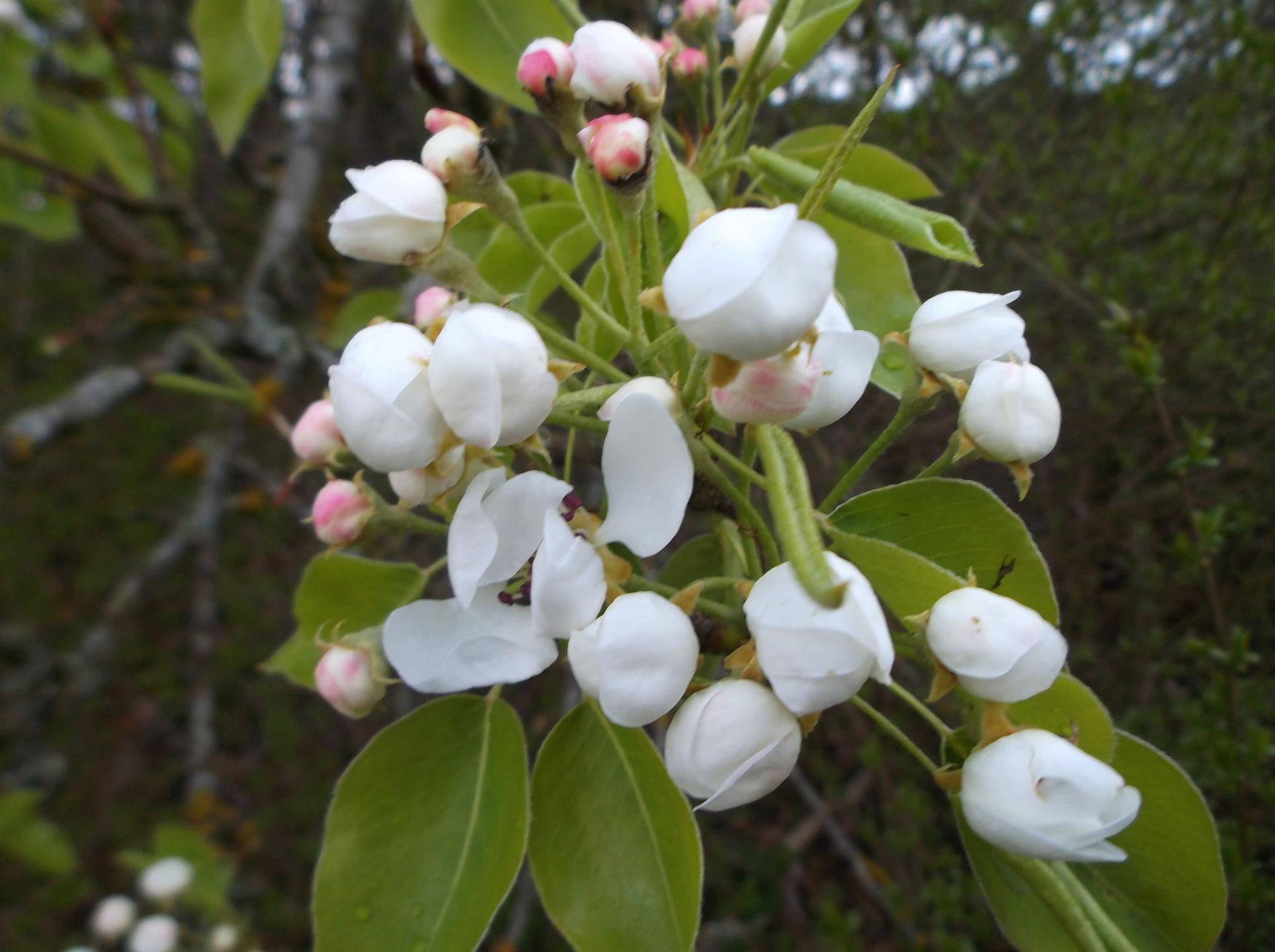 Blooming wild pears by uzkuraitiene62