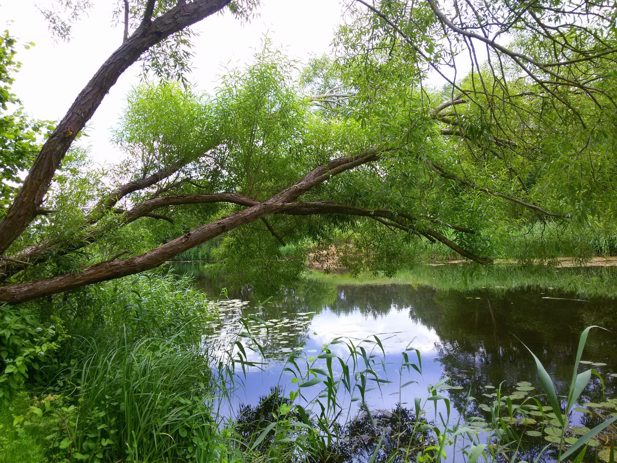 Old riverside tree by uzkuraitiene62