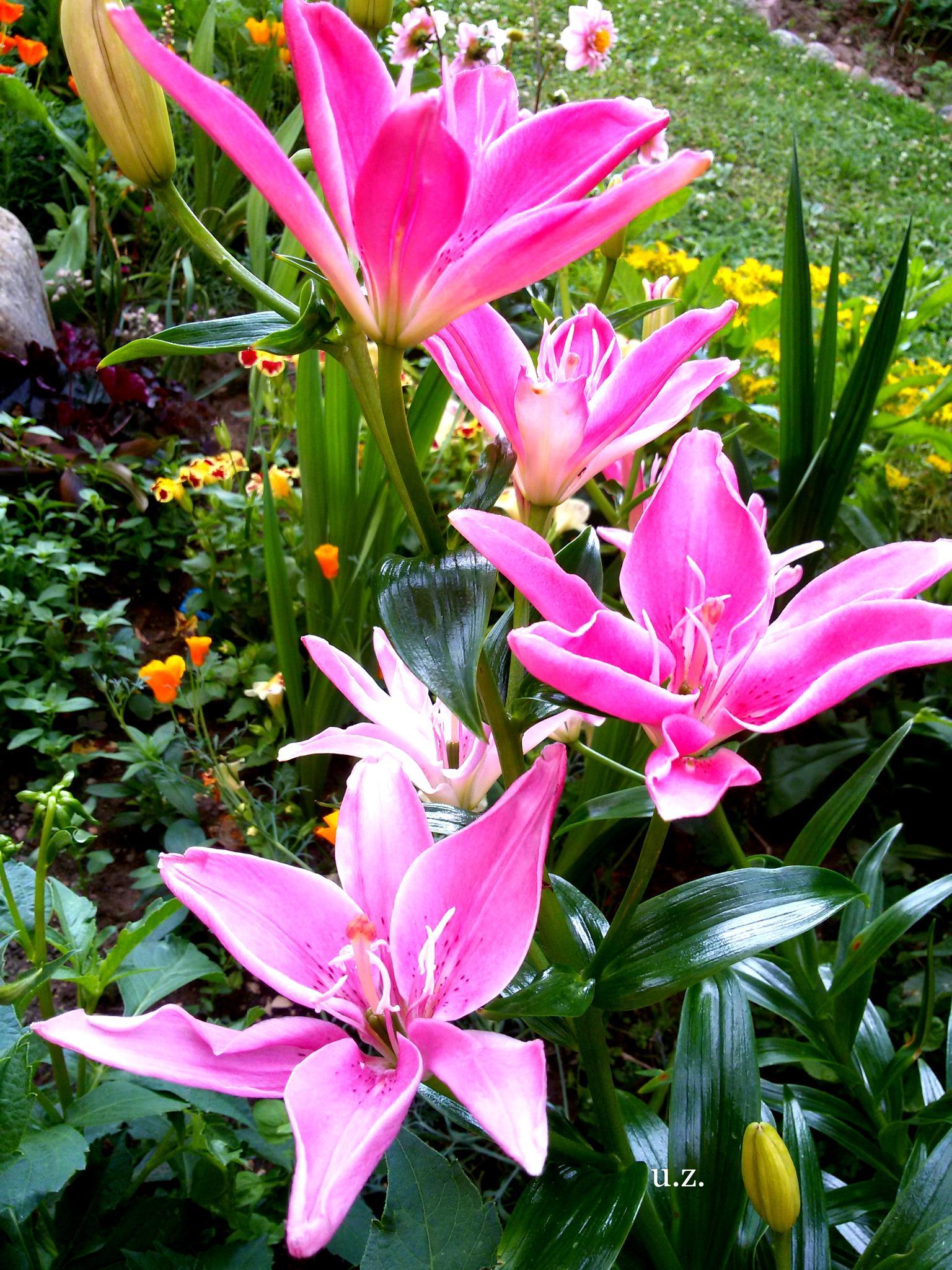 Lilyflower garden by uzkuraitiene62