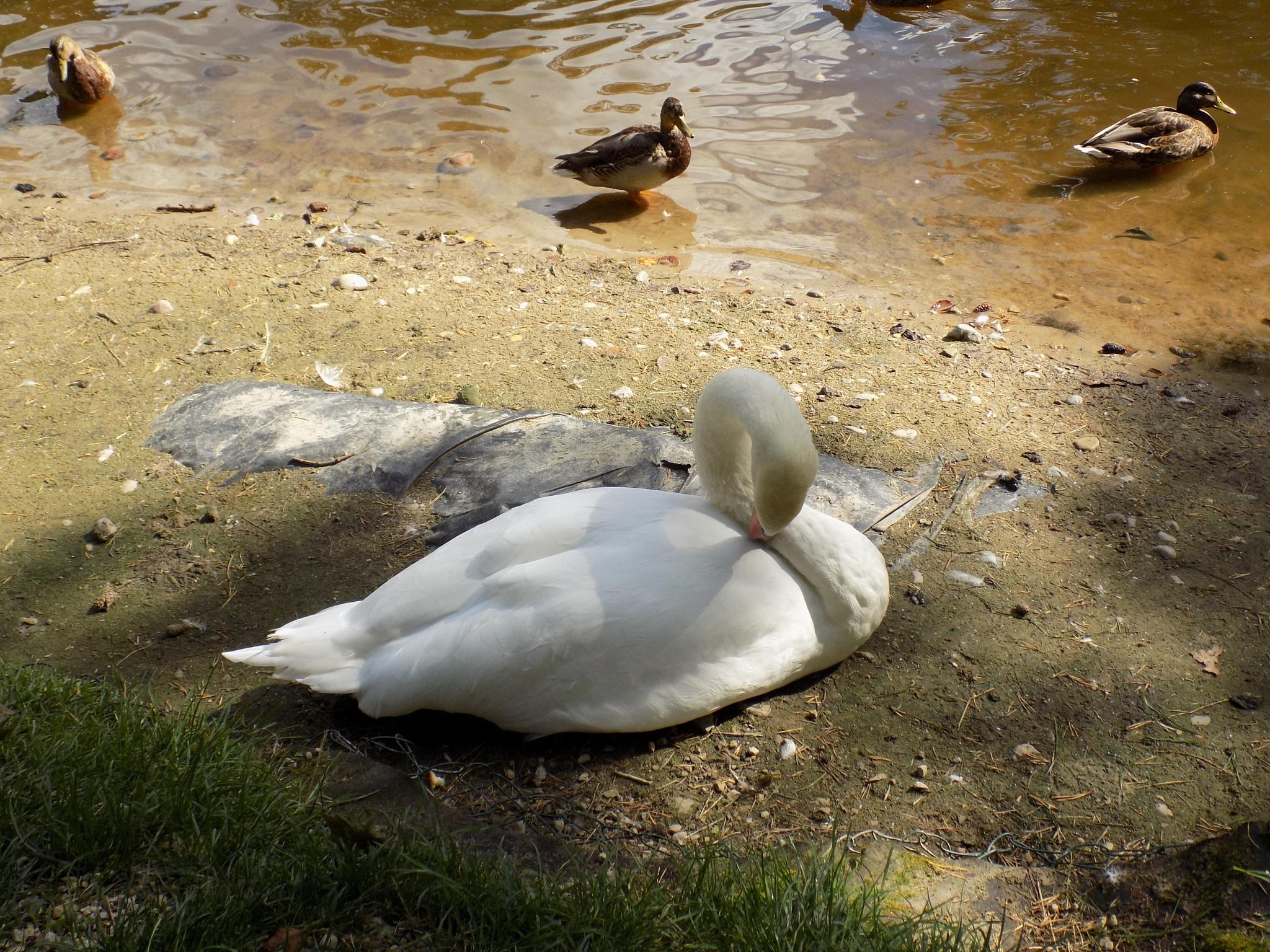 Swan and ducks by uzkuraitiene62