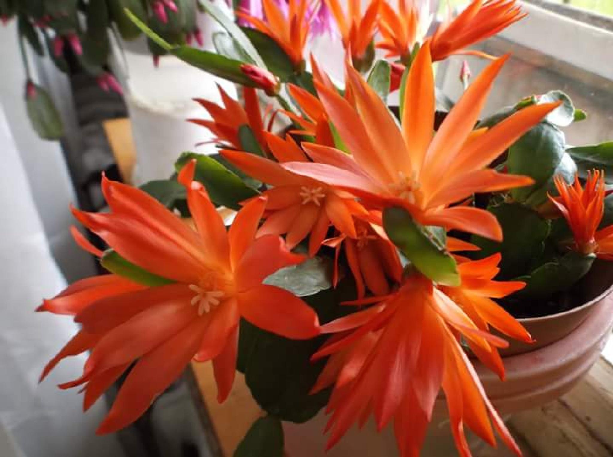 Cactus by uzkuraitiene62