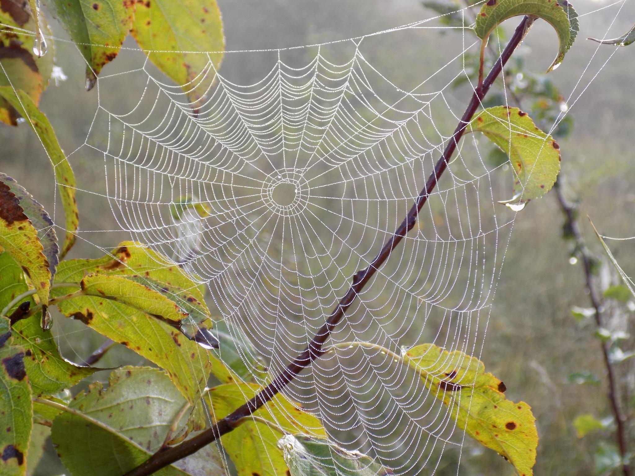 Cobweb by uzkuraitiene62