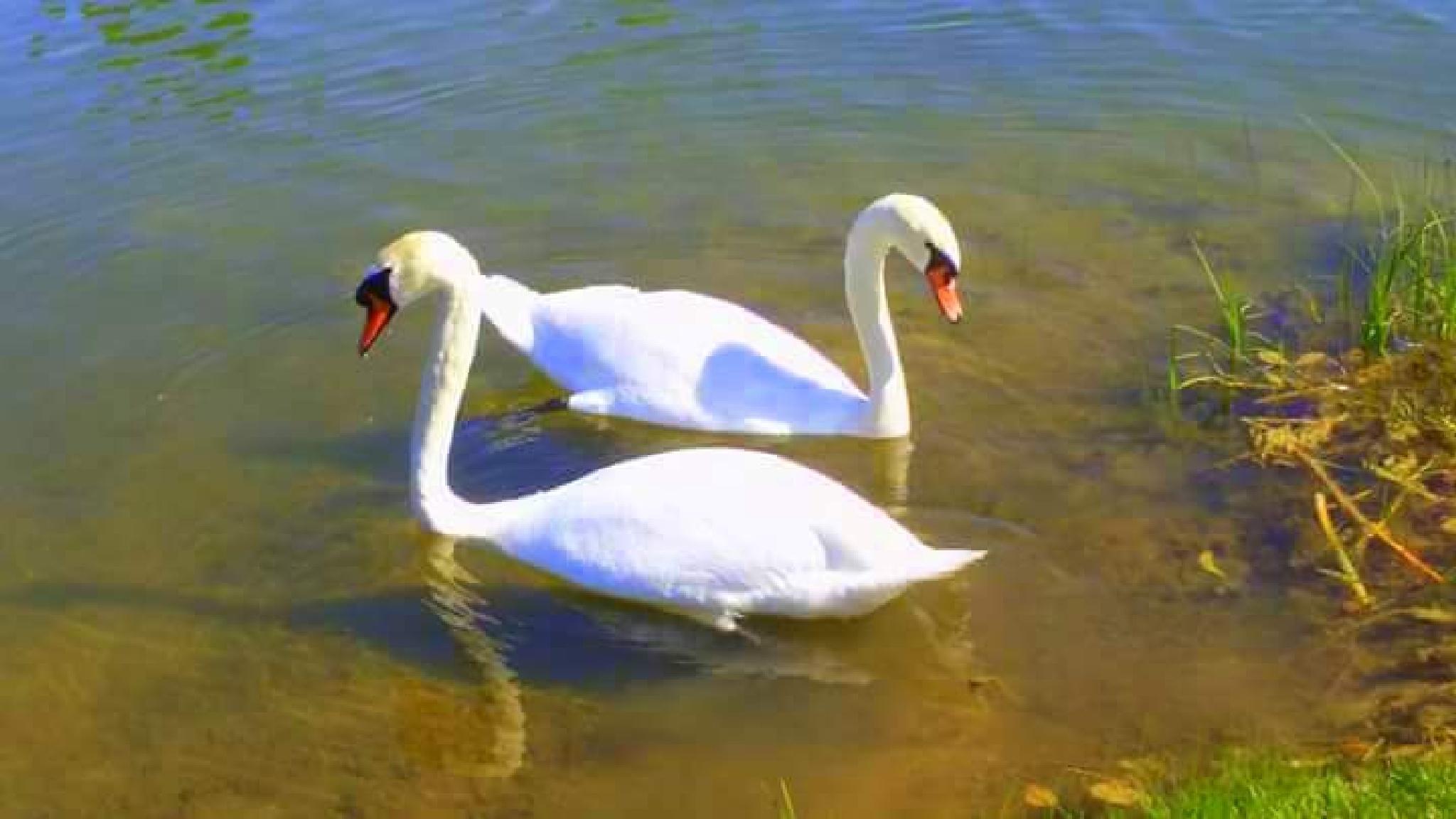 Two swans by uzkuraitiene62