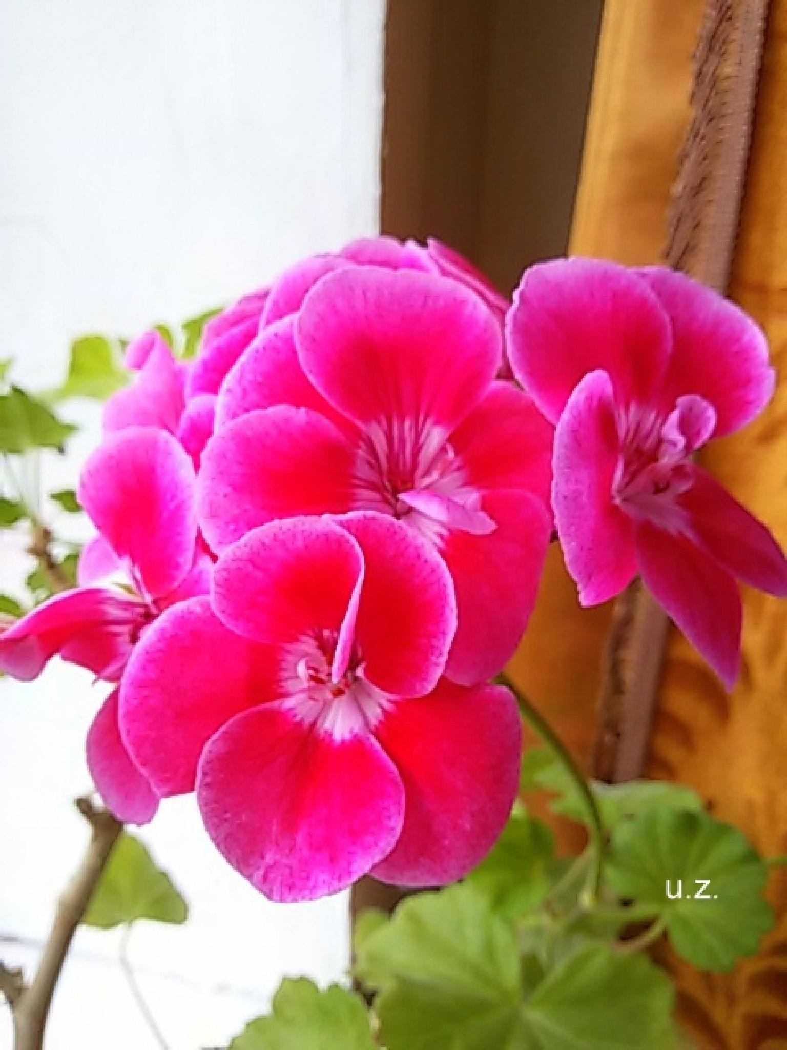 Pink  flower by uzkuraitiene62