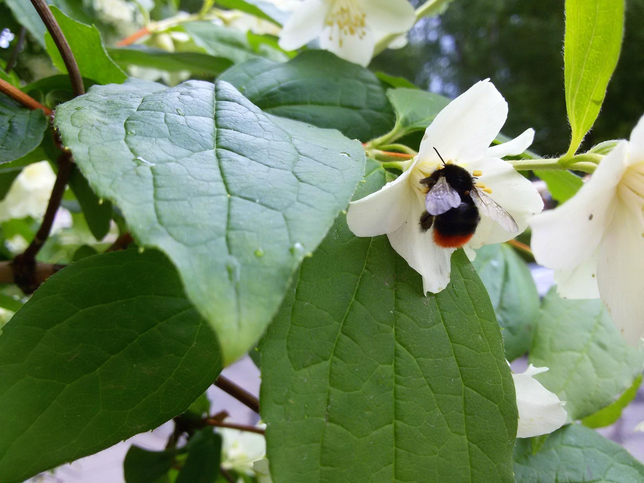 Bumblebee jasmine flowers by uzkuraitiene62