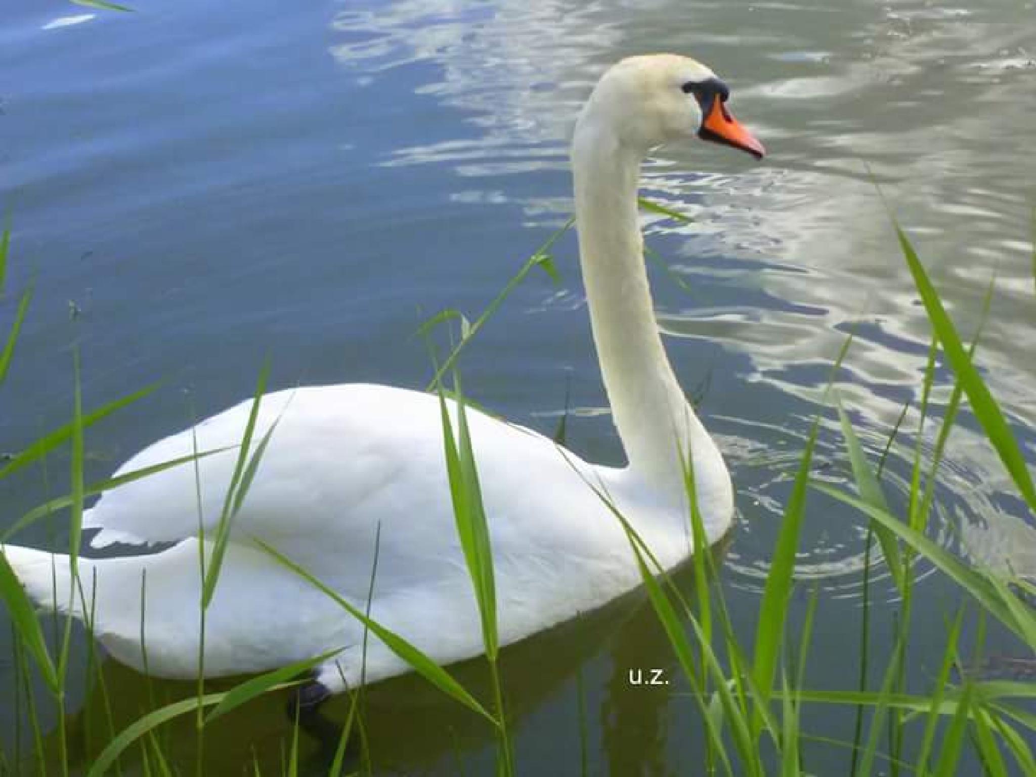 Swan by uzkuraitiene62