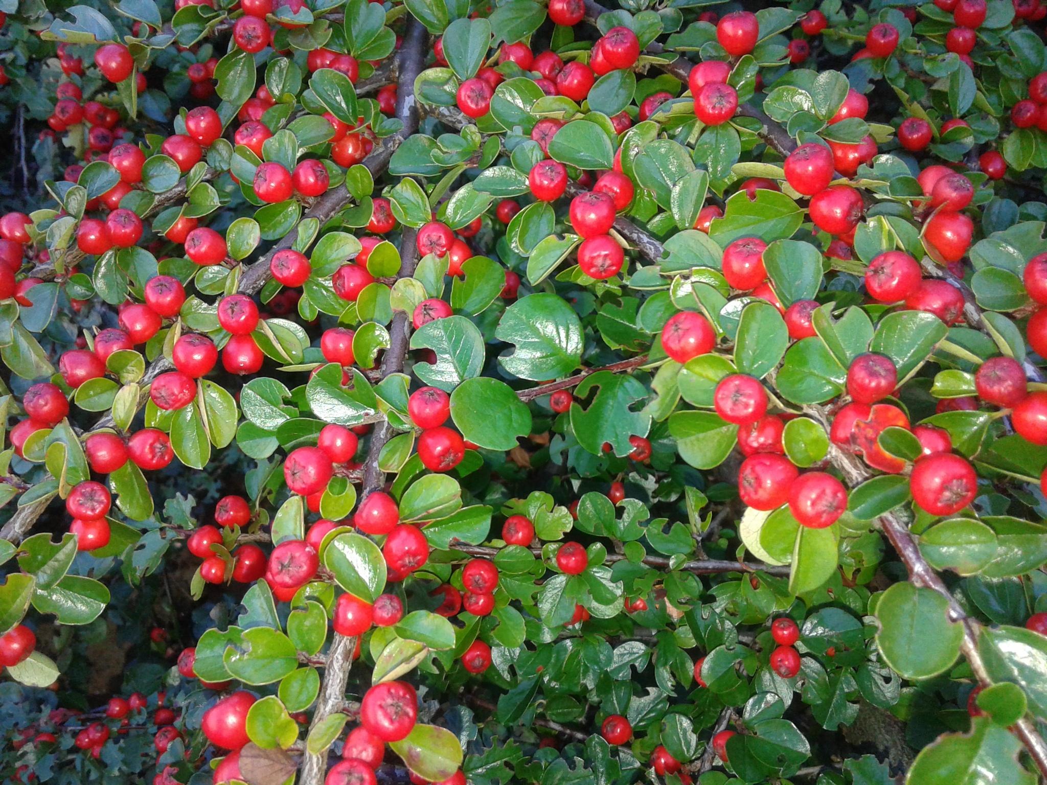 Red berries by uzkuraitiene62