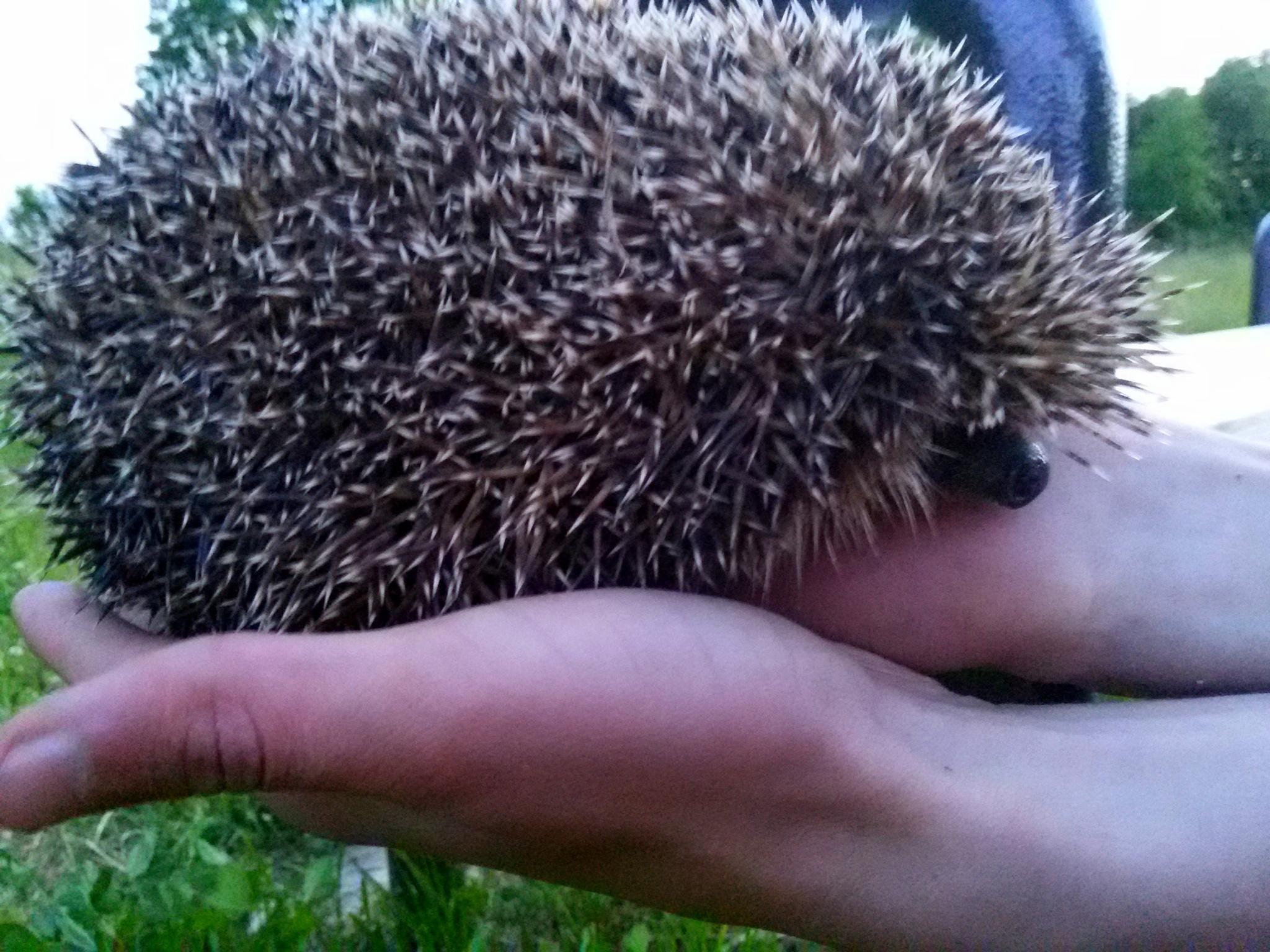 Hedgehog by uzkuraitiene62