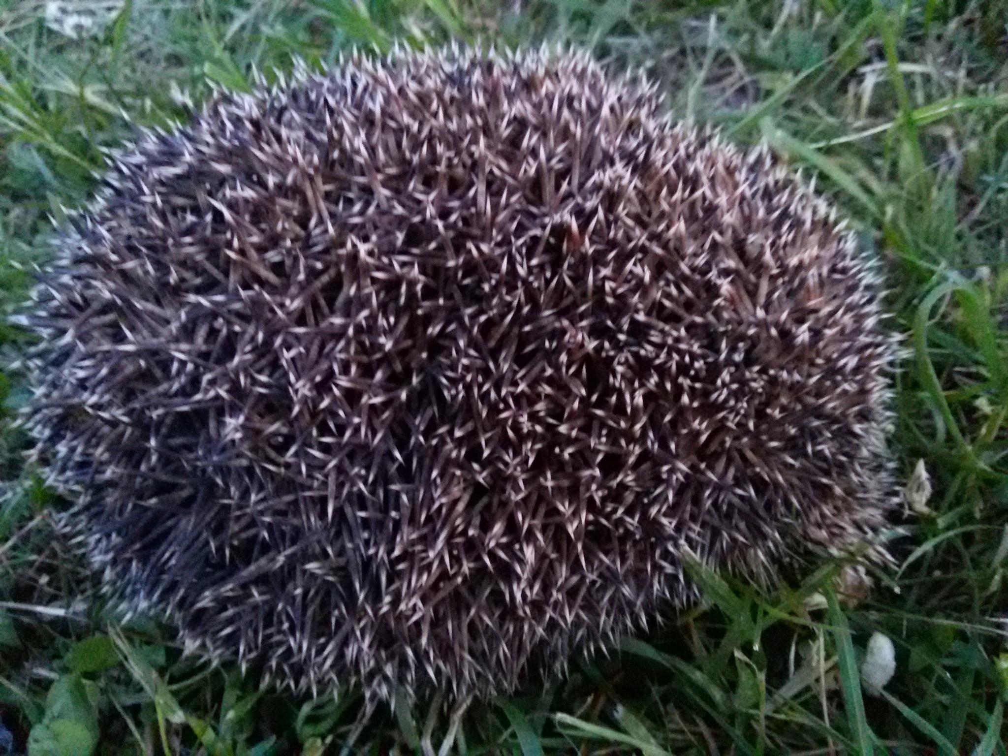 Hedgehog in the meadow by uzkuraitiene62