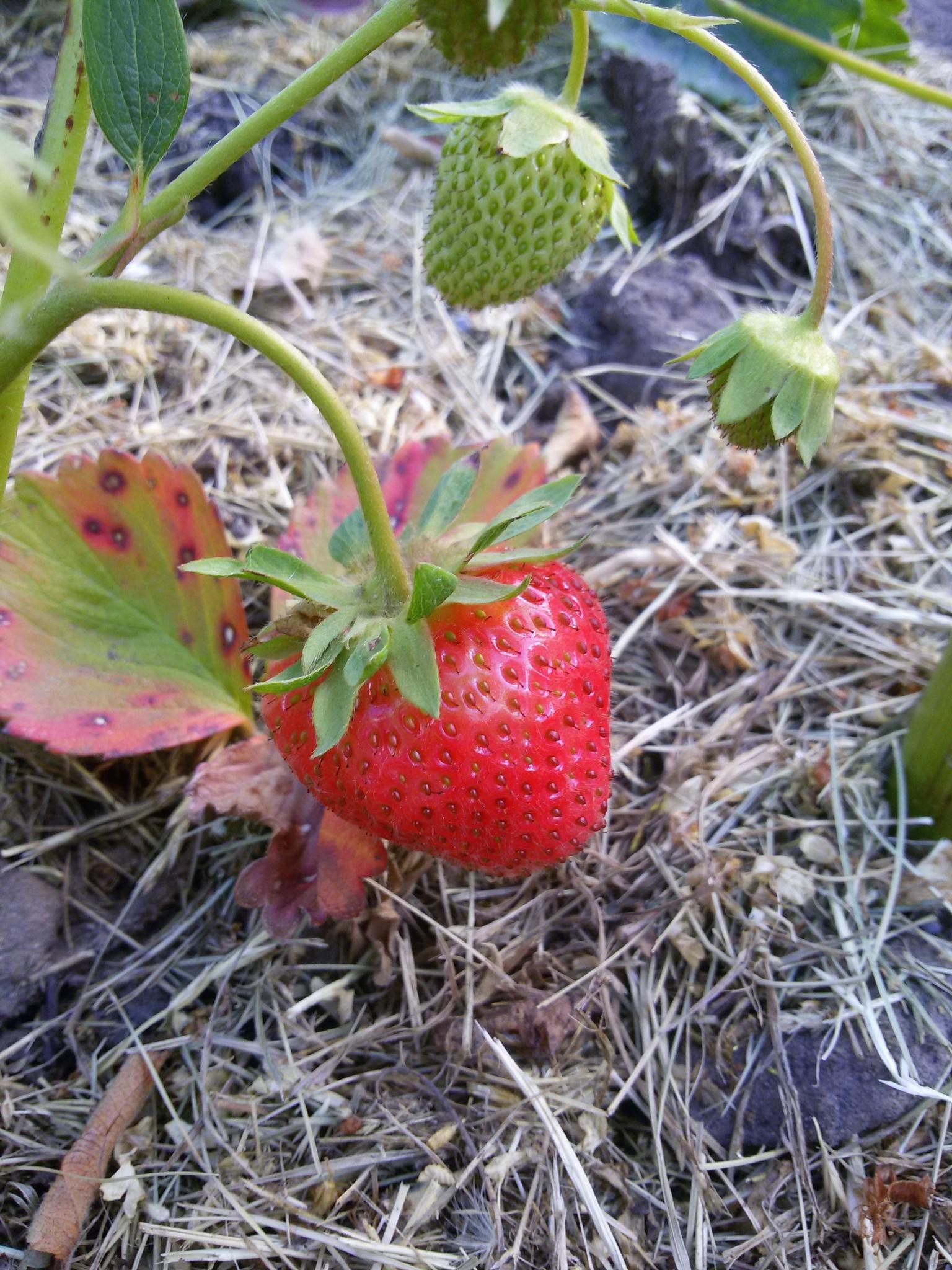 Garden strawberry by uzkuraitiene62