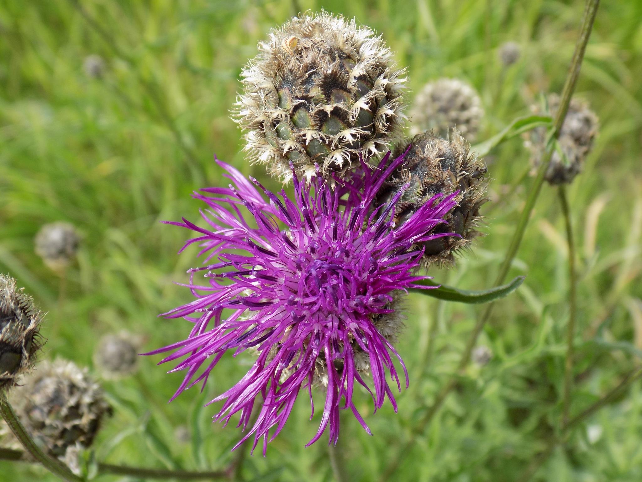 Flower with buds. by uzkuraitiene62