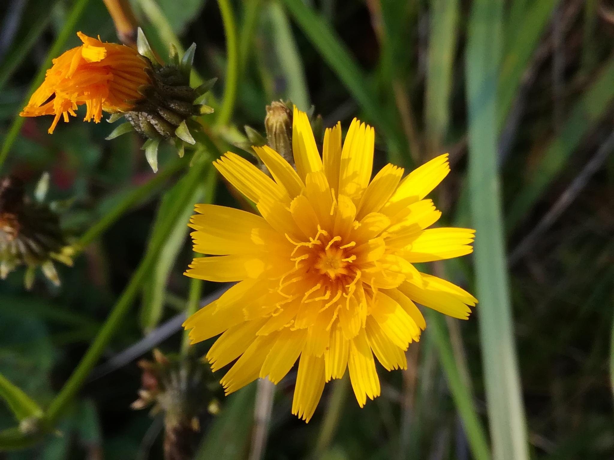 Flower with buds by uzkuraitiene62