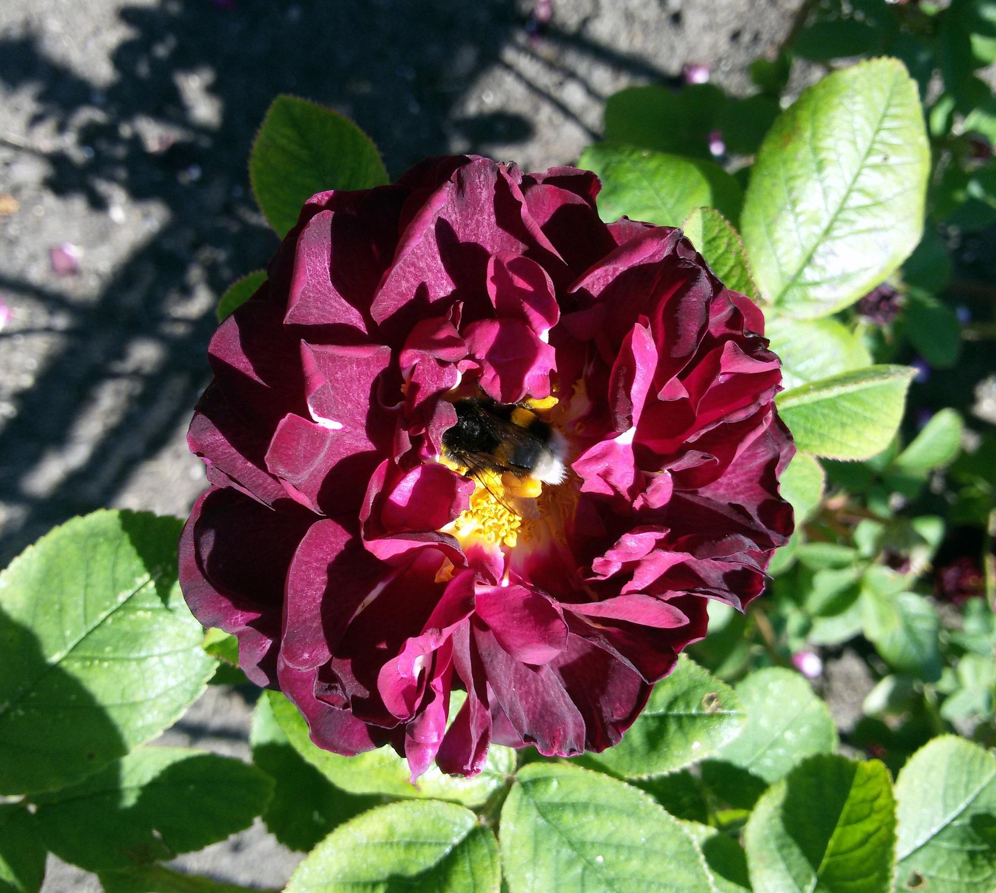 Rose with bumblebee by uzkuraitiene62