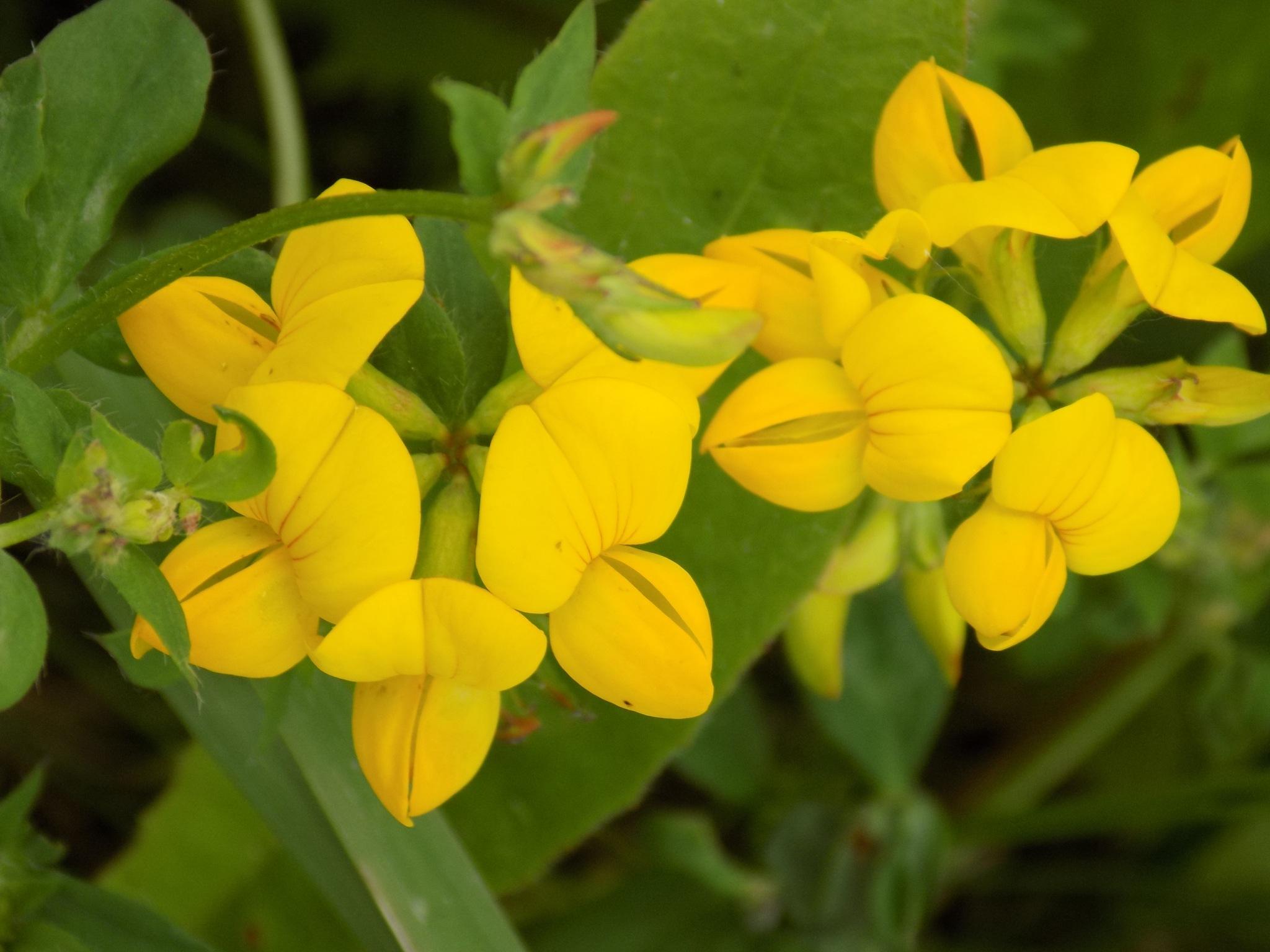 Yellow flowers by uzkuraitiene62
