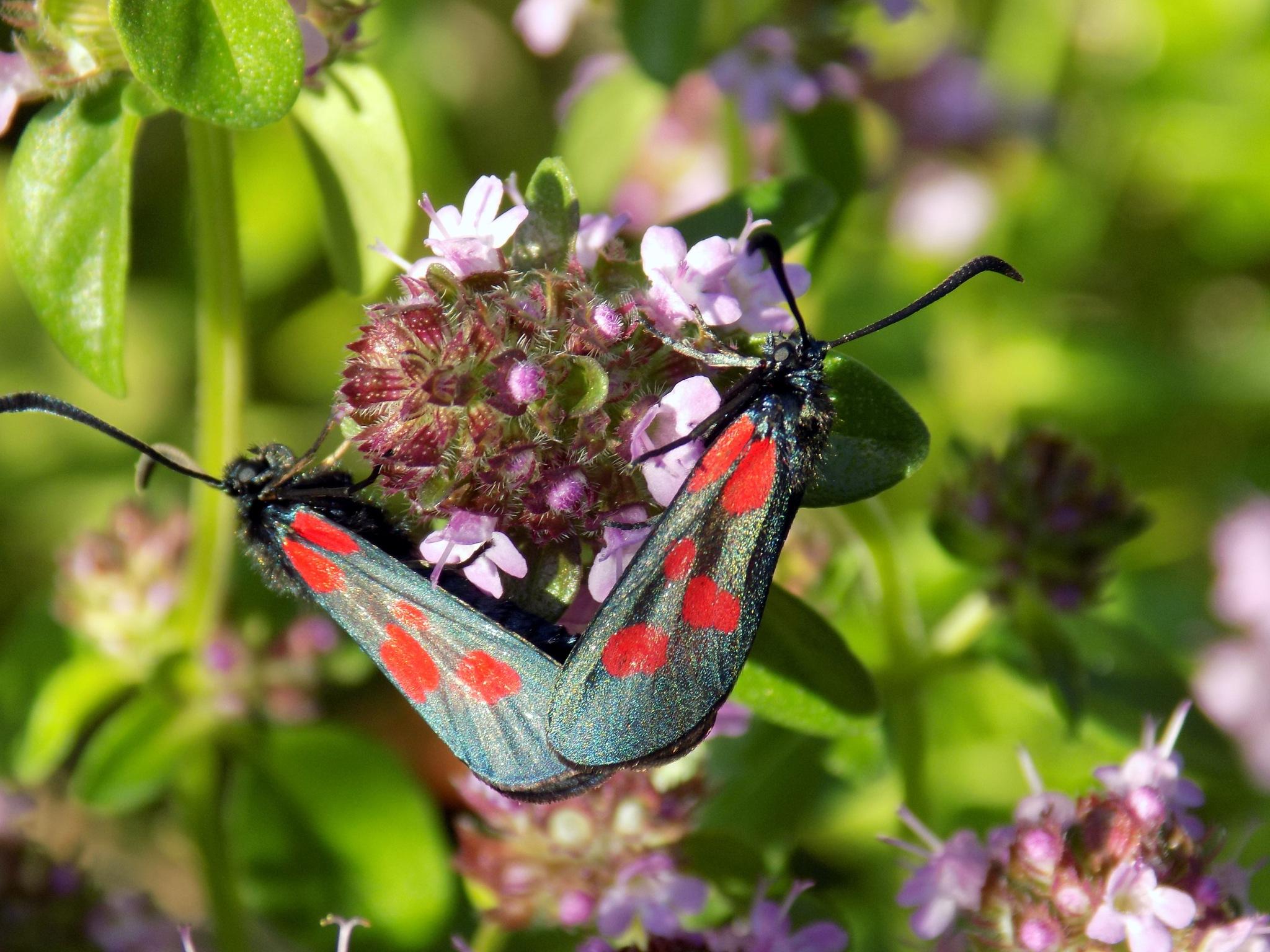 Beatiful butterflies by uzkuraitiene62