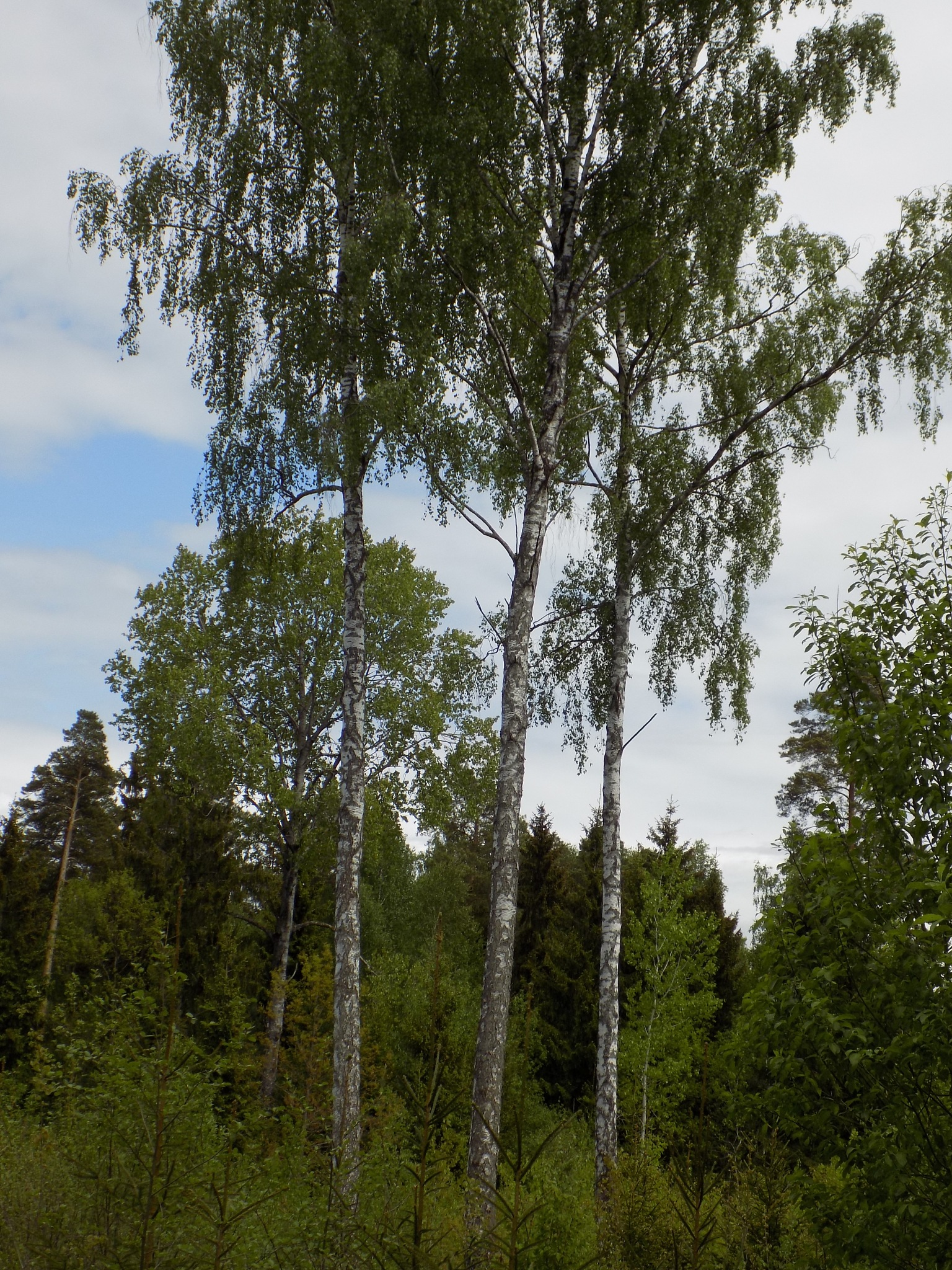 Trees by uzkuraitiene62