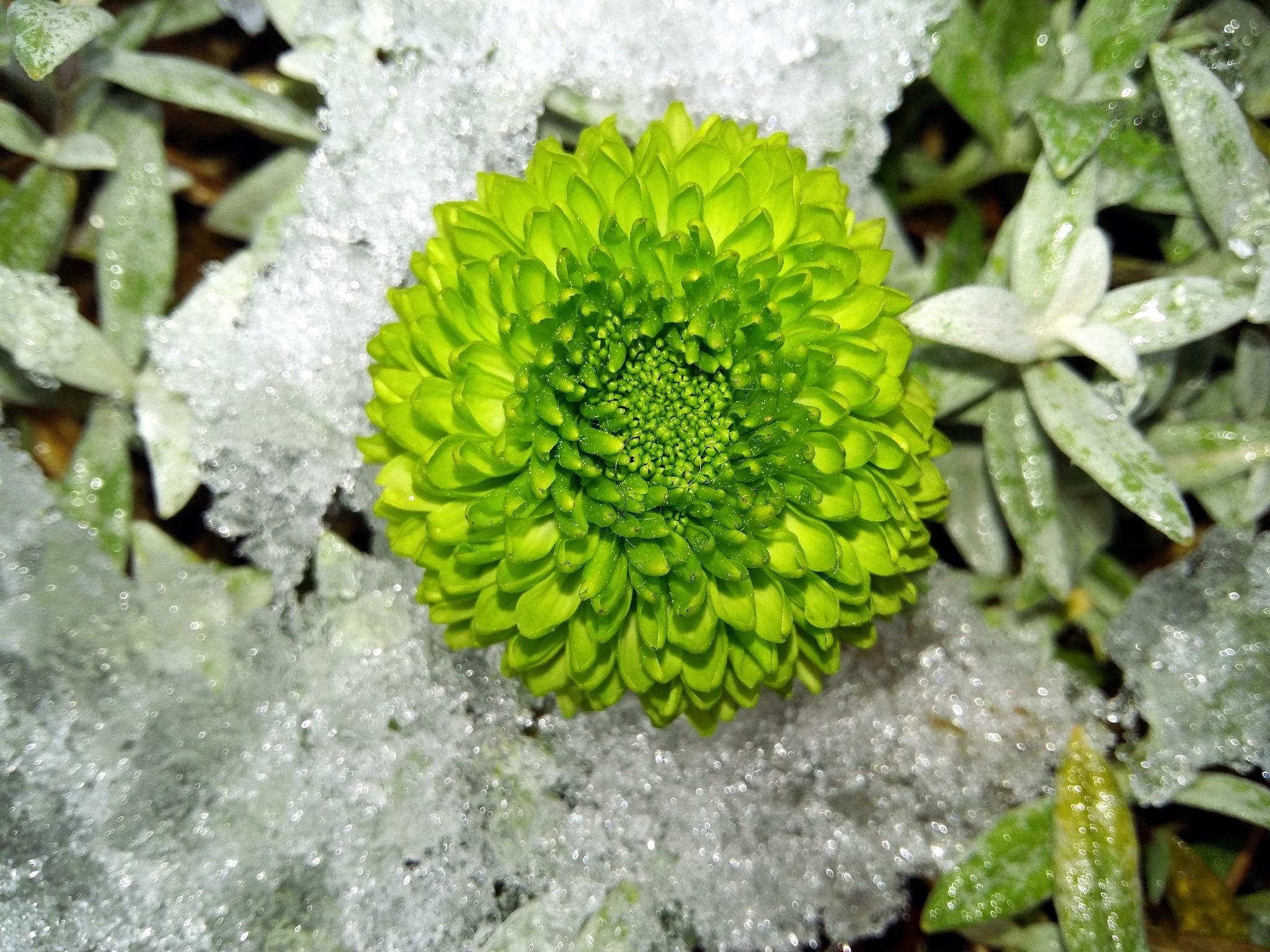 Flower in the snow by uzkuraitiene62