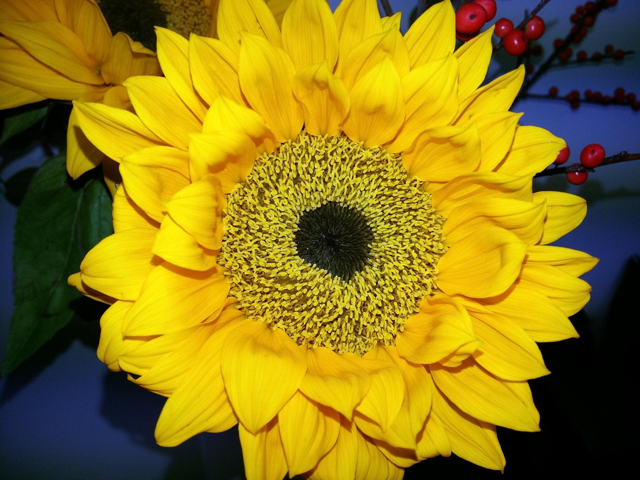 Sunflower by uzkuraitiene62