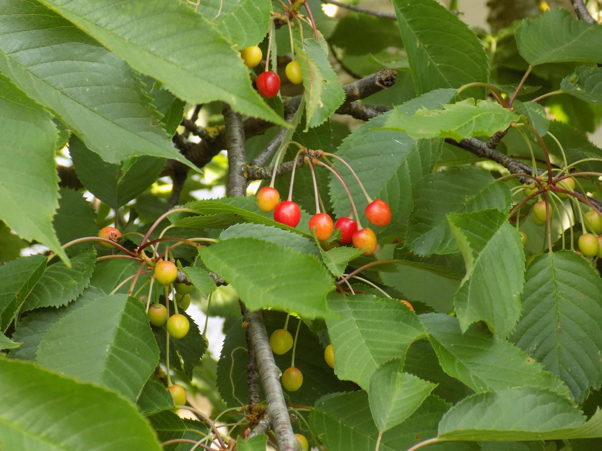 Ripening cherries by uzkuraitiene62