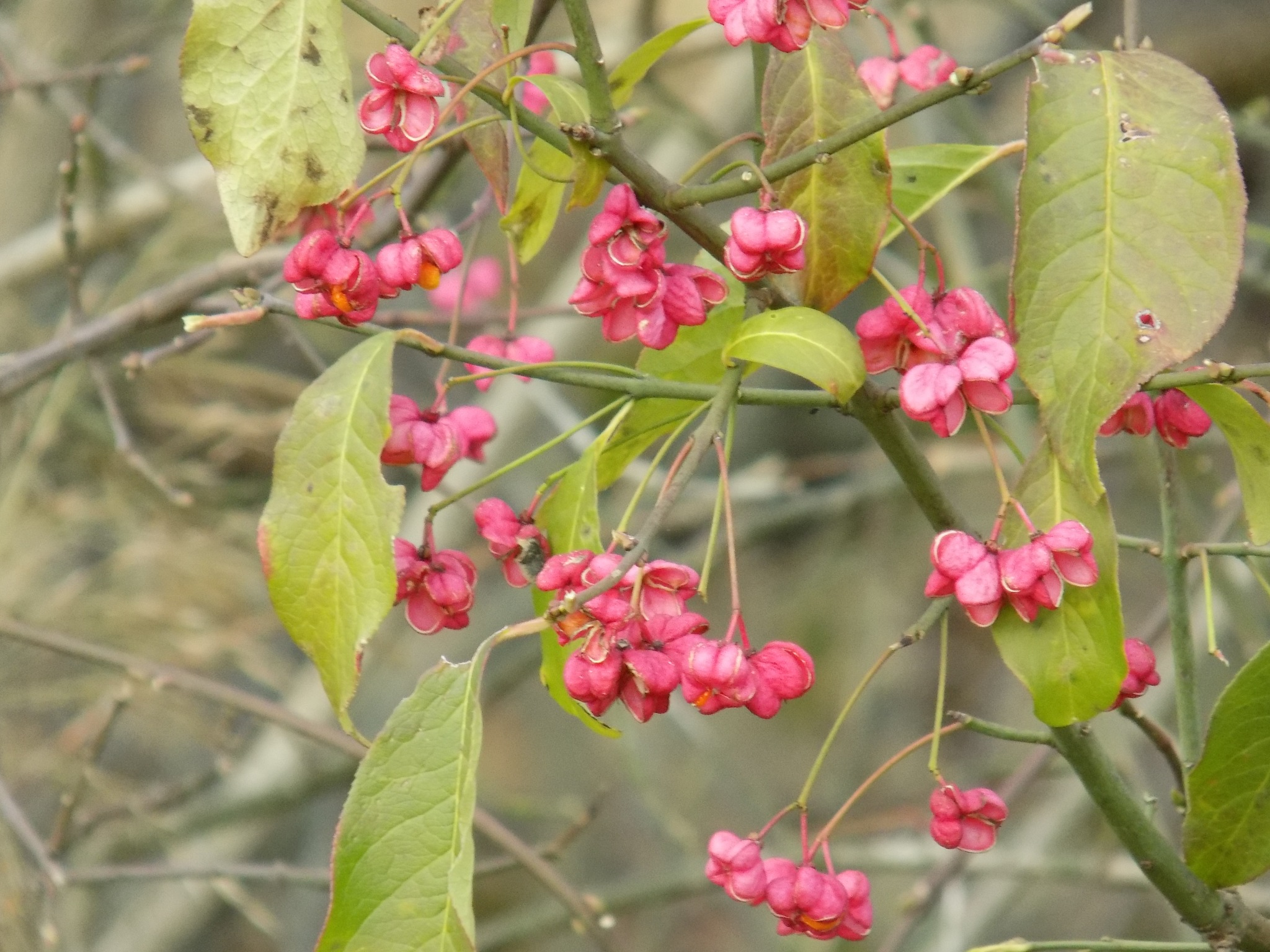 Gooseberry in autumn by uzkuraitiene62