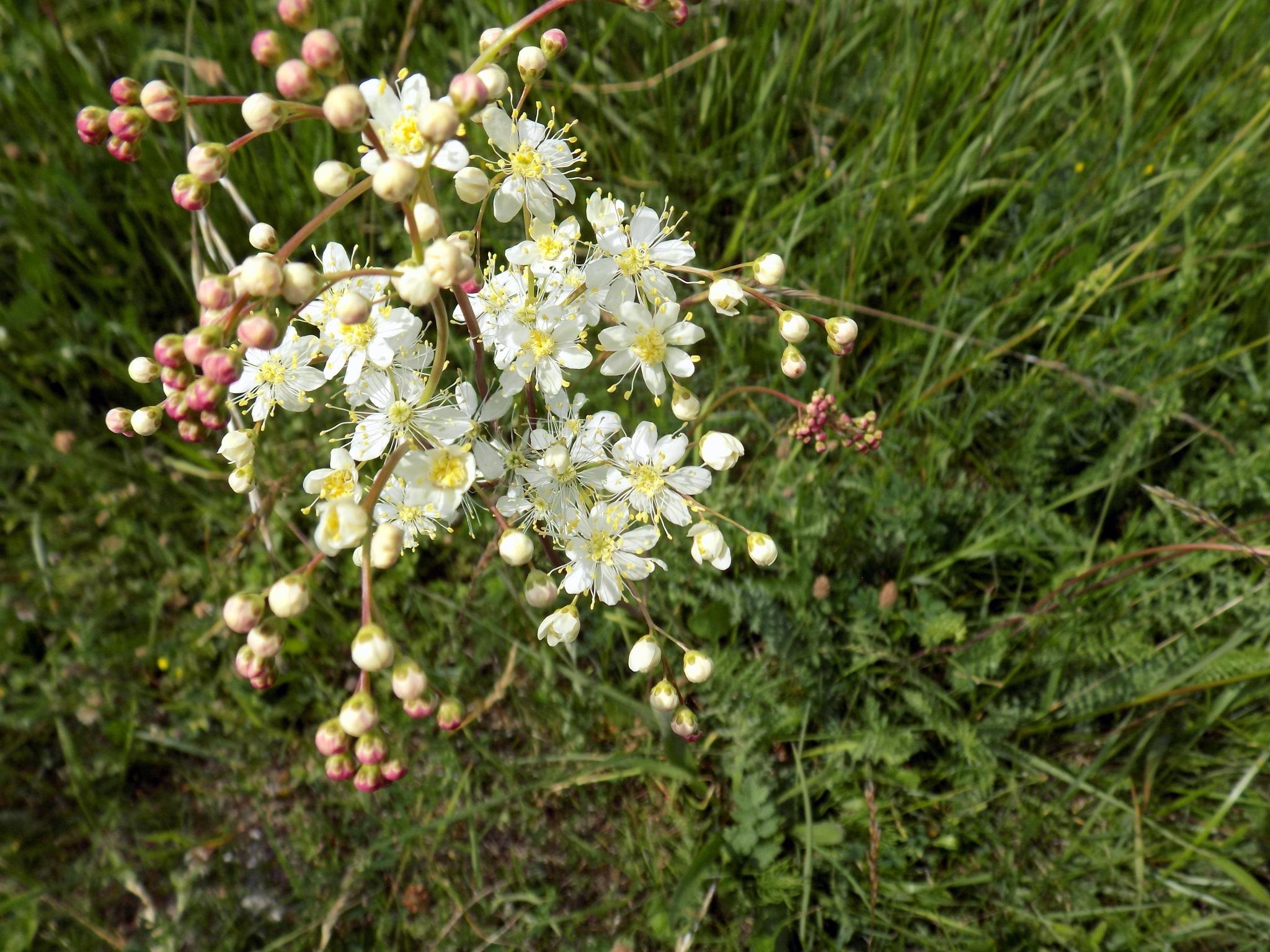 Meadows flowers. by uzkuraitiene62