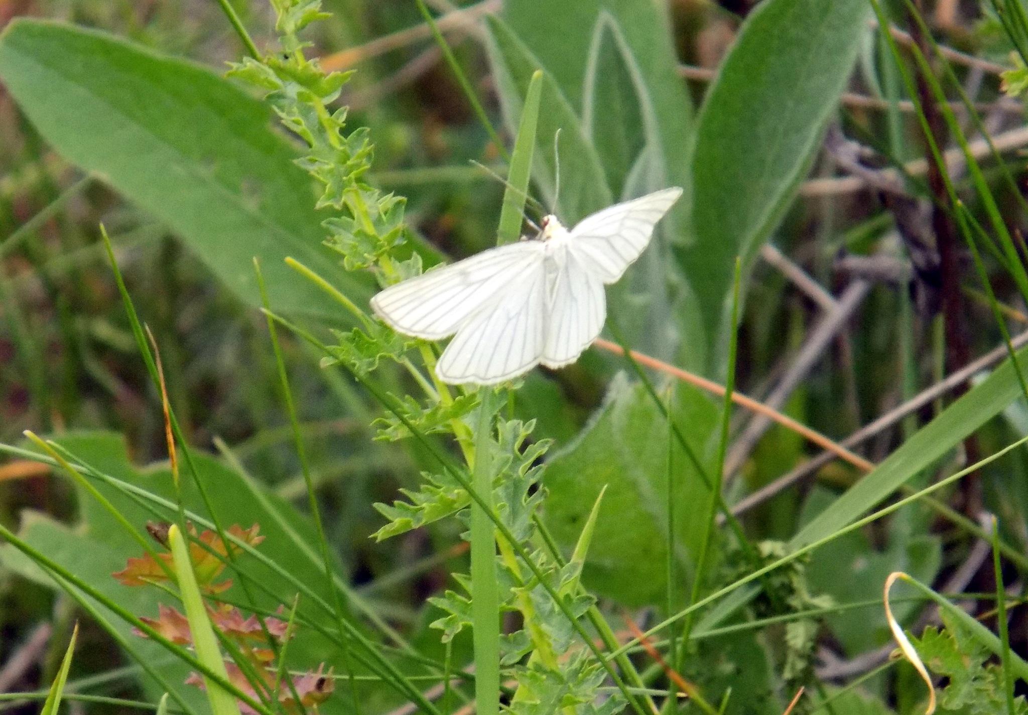 White butterfly. by uzkuraitiene62