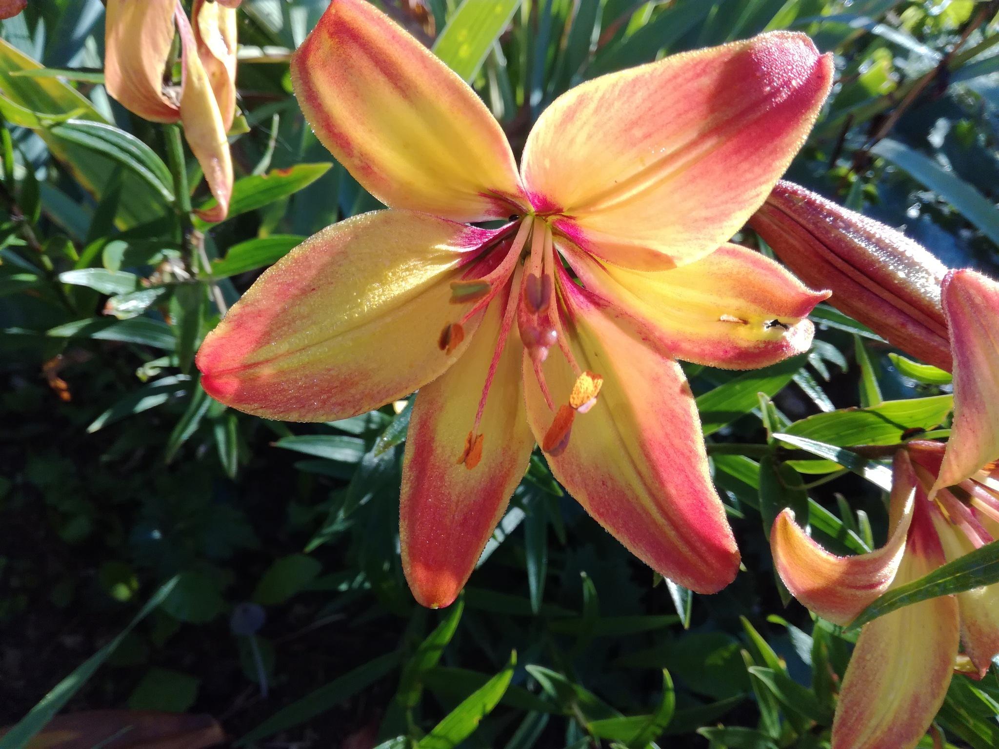 Lily by uzkuraitiene62