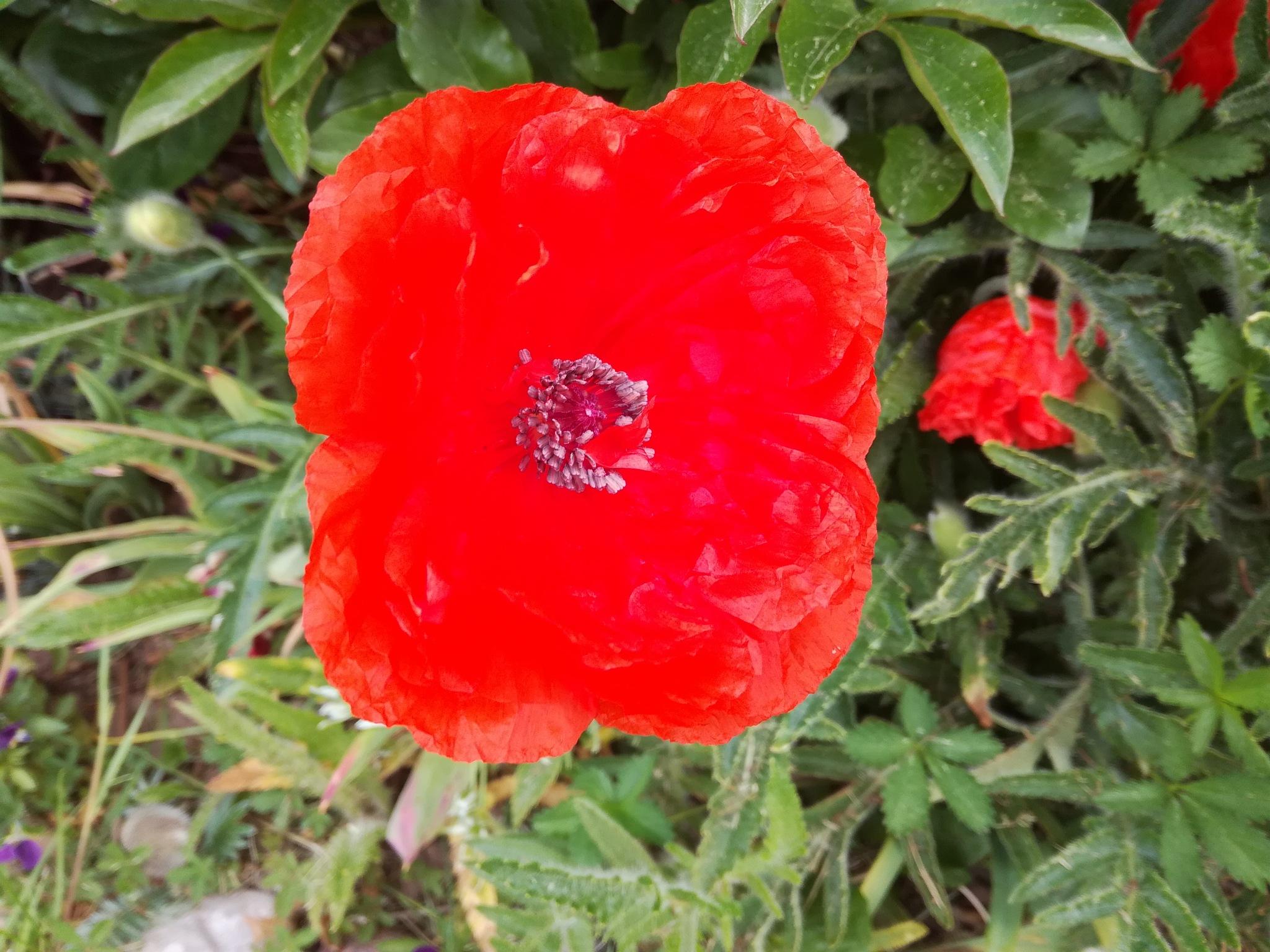Poppy by uzkuraitiene62