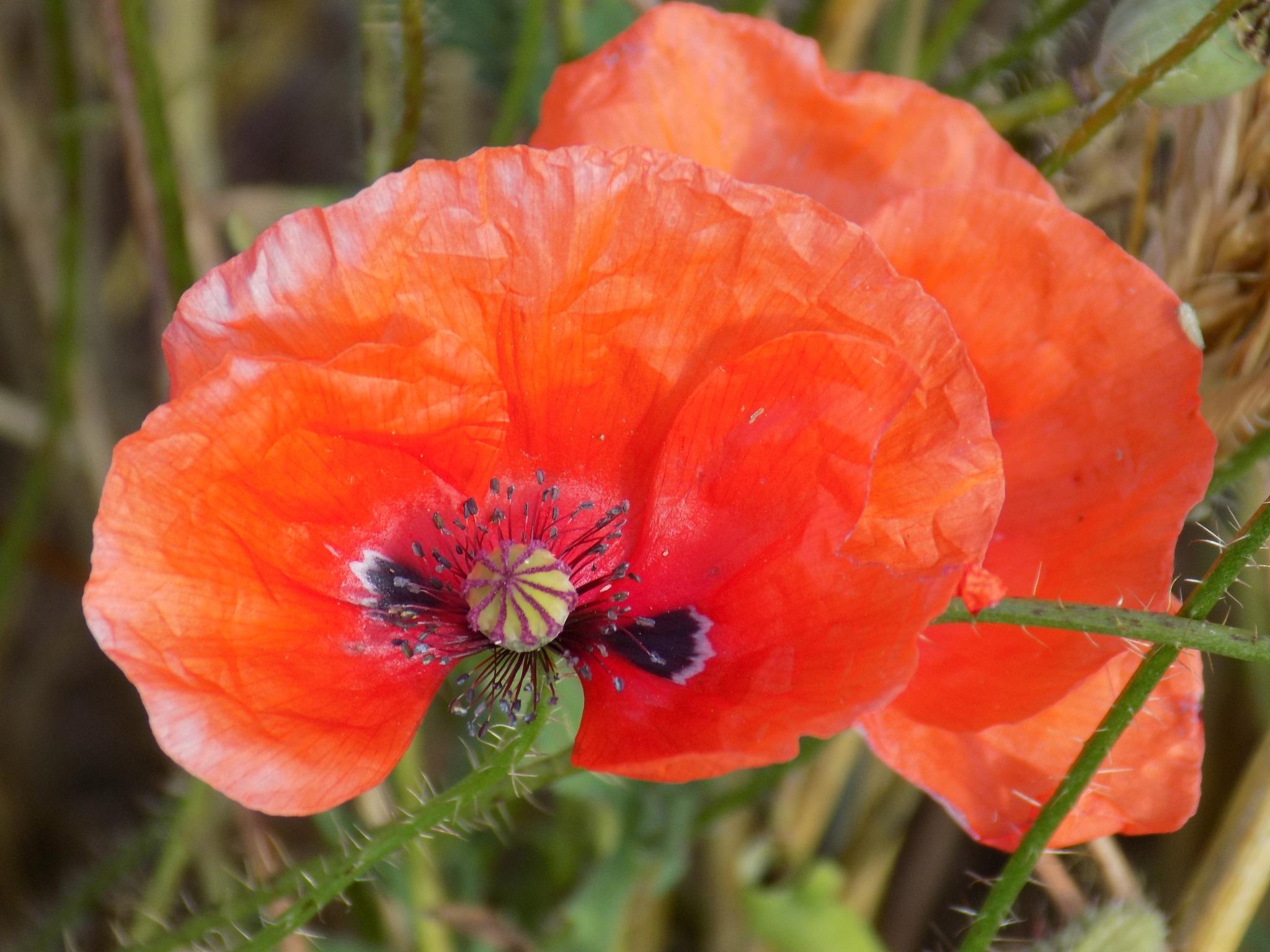 Wild poppy by uzkuraitiene62