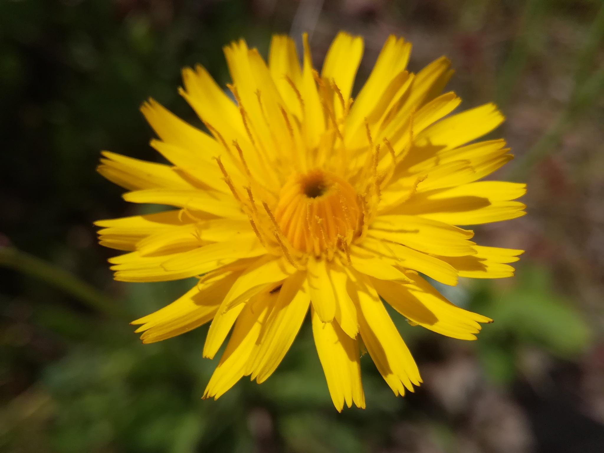 Yellow flower by uzkuraitiene62