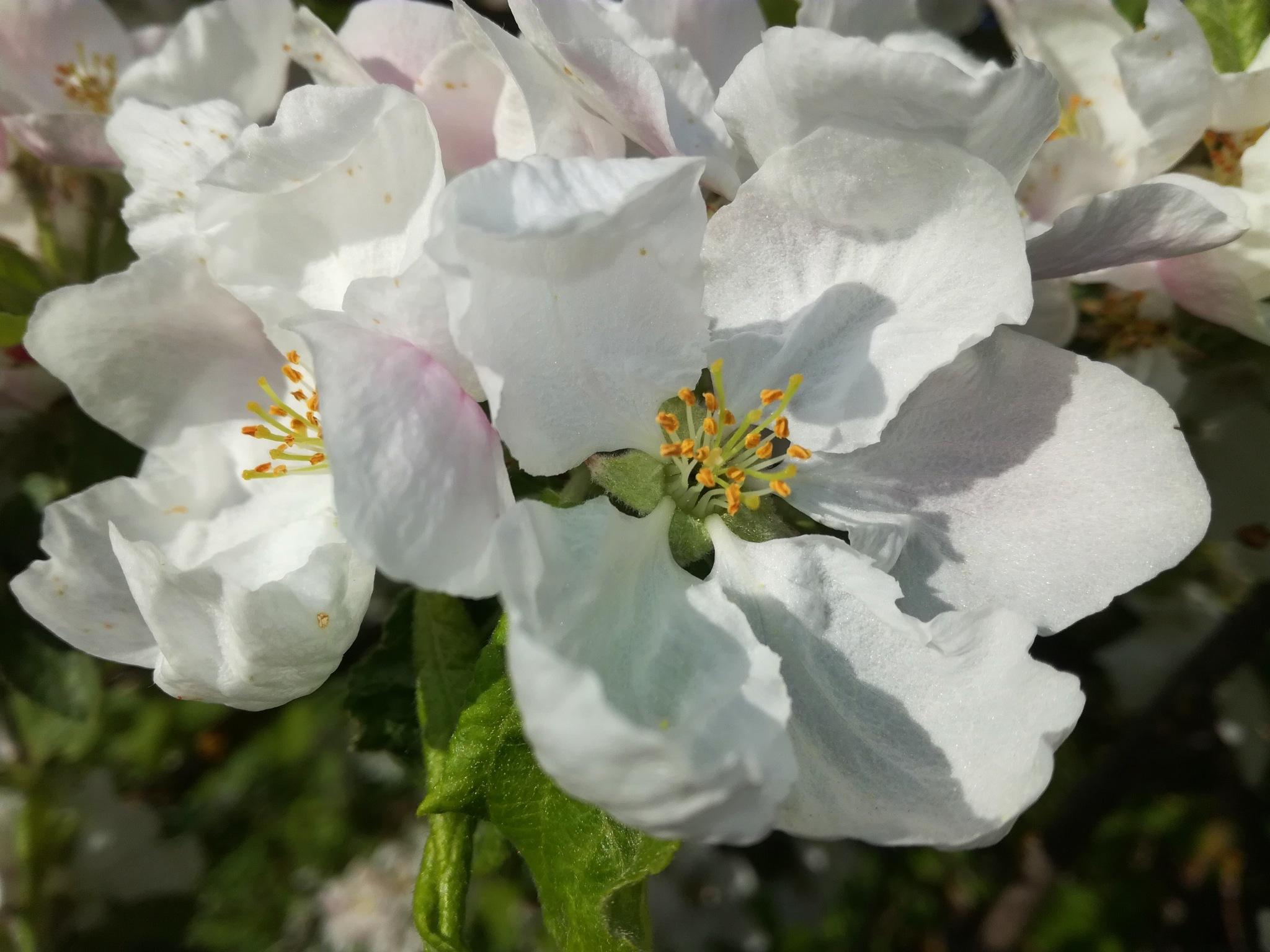 Apple blossoms by uzkuraitiene62